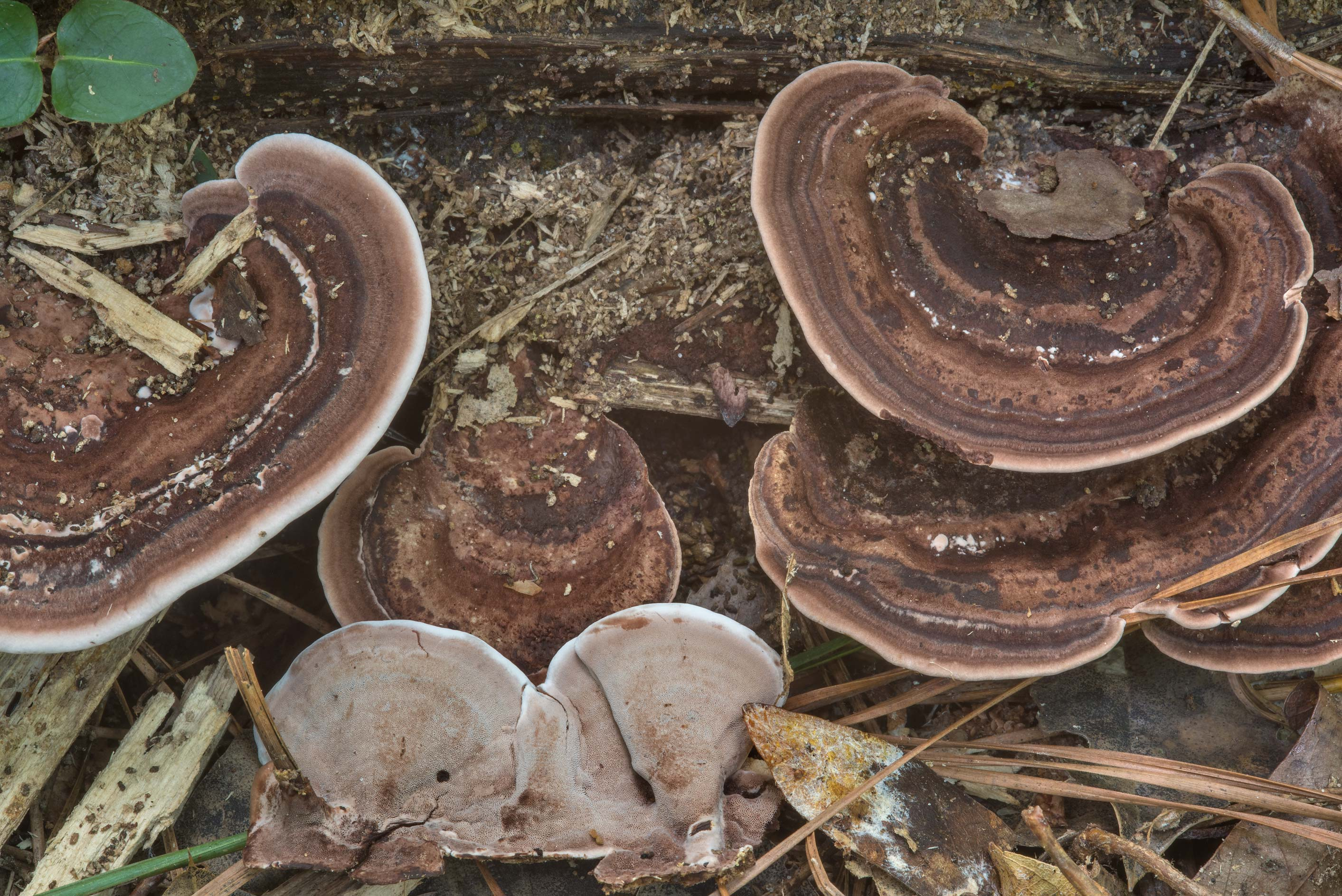 Polypore mushrooms Nigroporus vinosus on a...National Forest. Shepherd, Texas