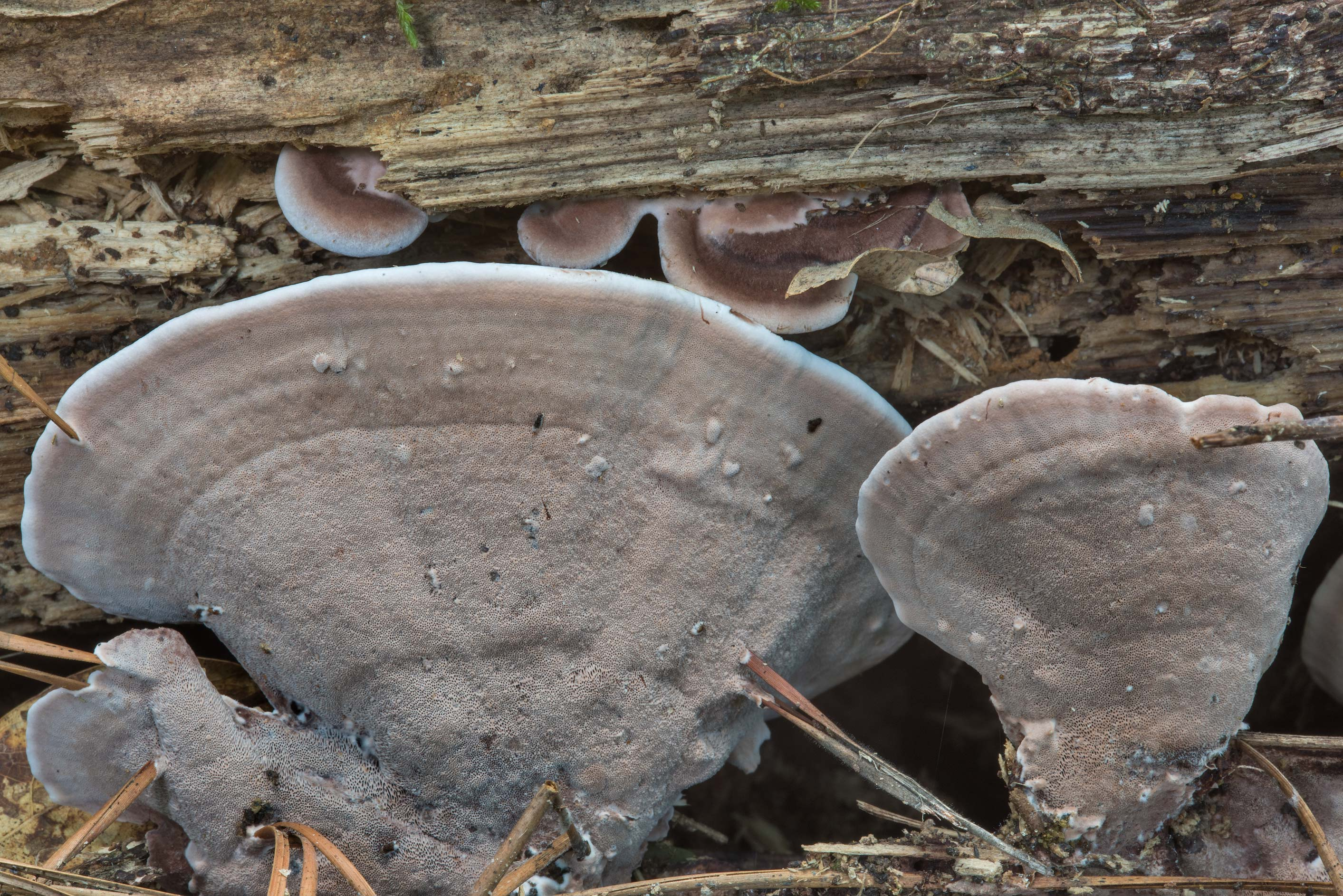 Underside of polypore mushrooms Nigroporus...National Forest. Shepherd, Texas