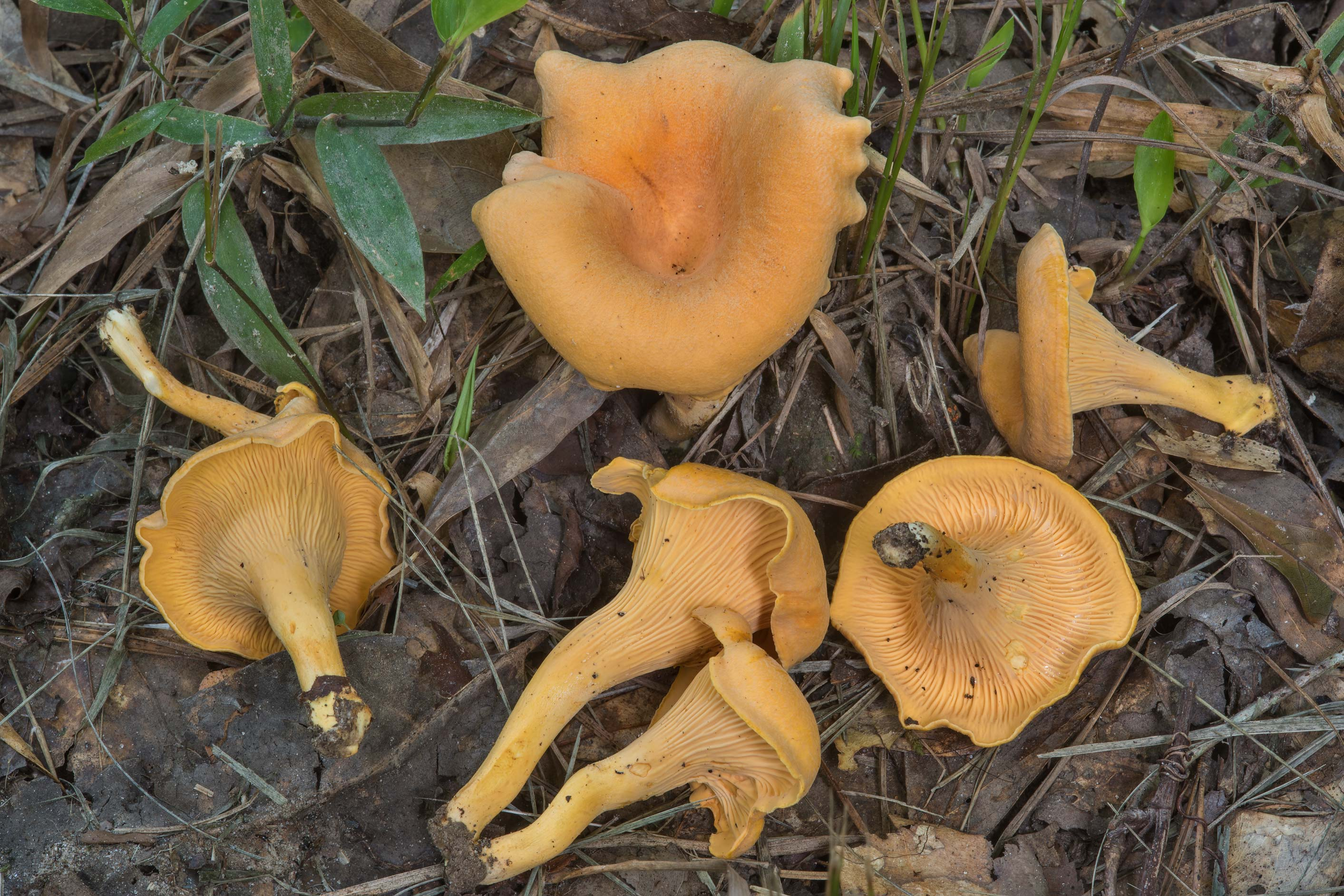 Chanterelle mushrooms (Cantharellus cibarius) on...Forest, near Huntsville. Texas