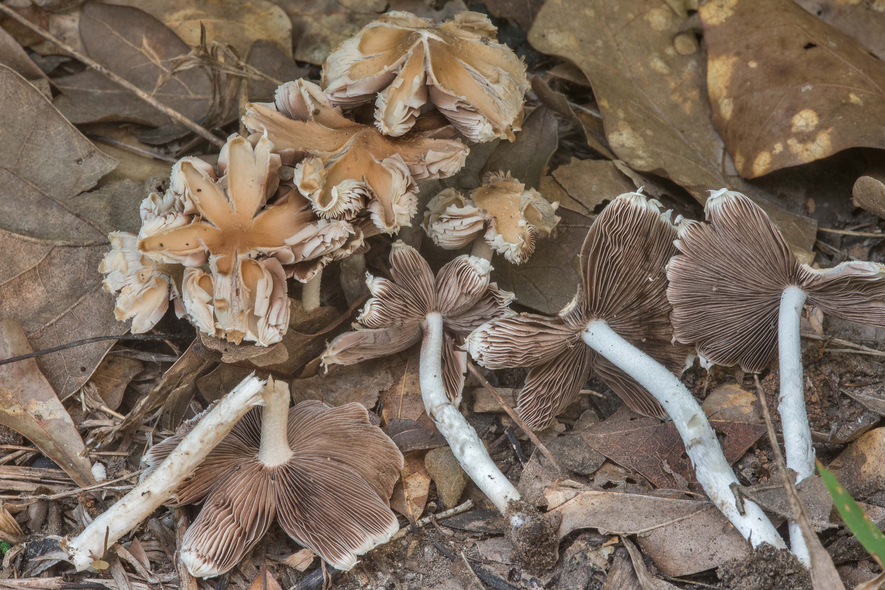 Brittlegill (Psathyrella) mushrooms under oaks in Lick Creek Park. College Station, Texas