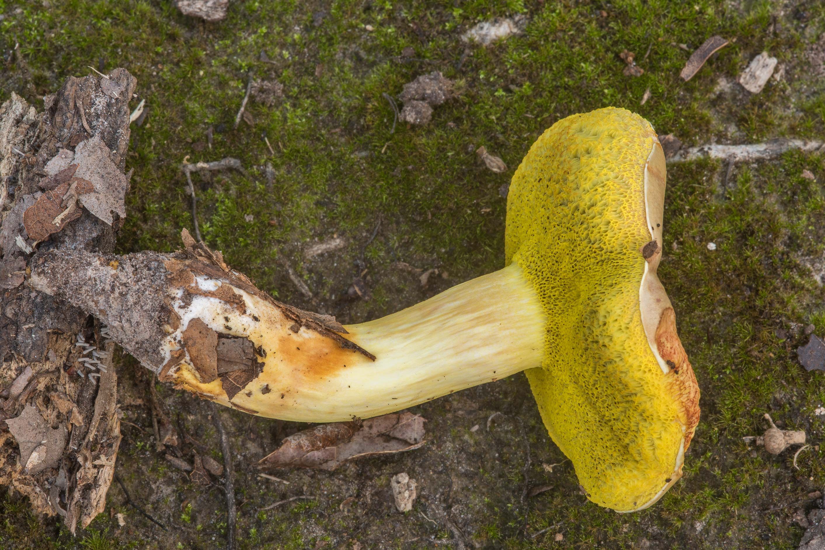 Underside of Aureoboletus auriporus mushroom in Lick Creek Park. College Station, Texas