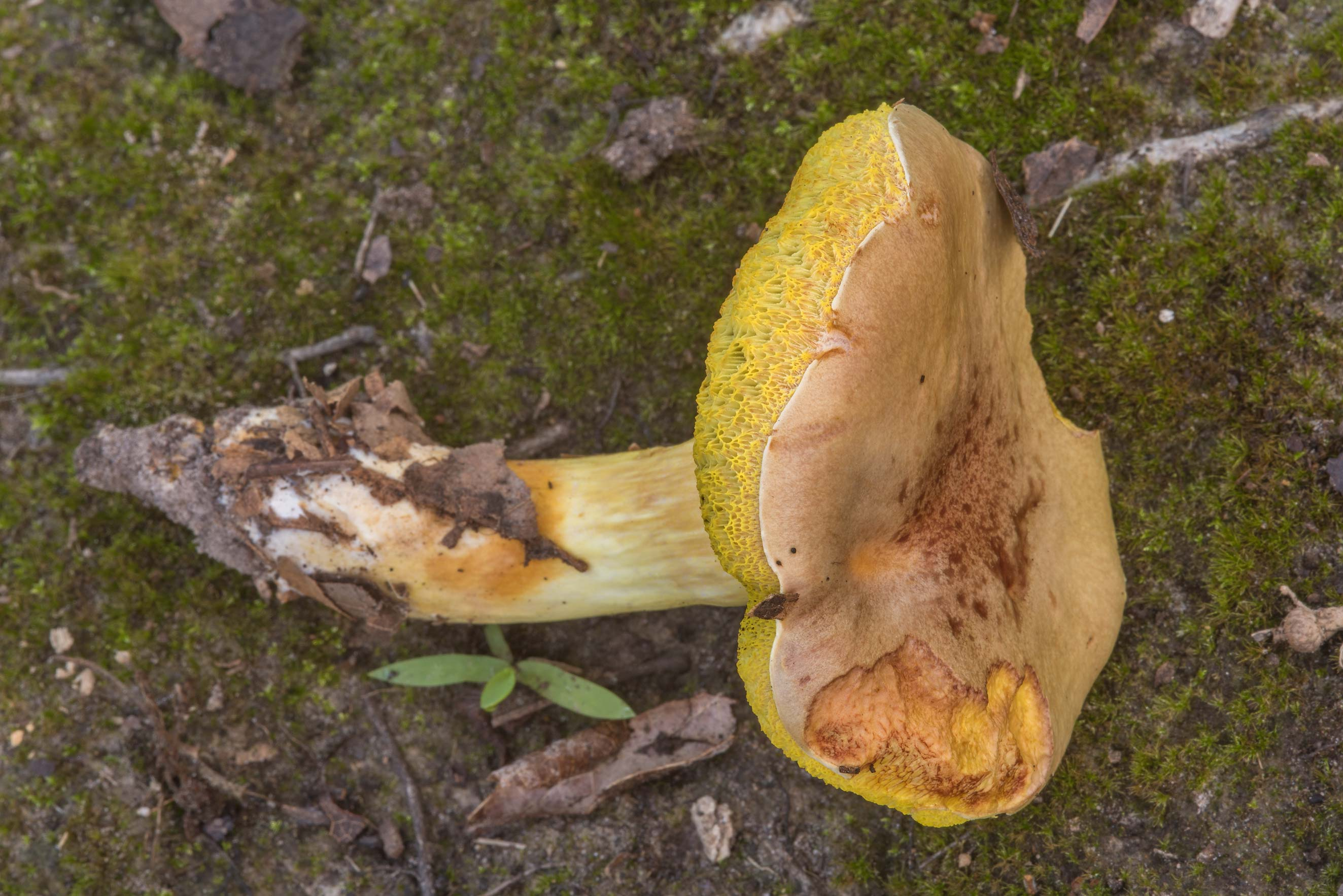 Aureoboletus auriporus mushroom in Lick Creek Park. College Station, Texas