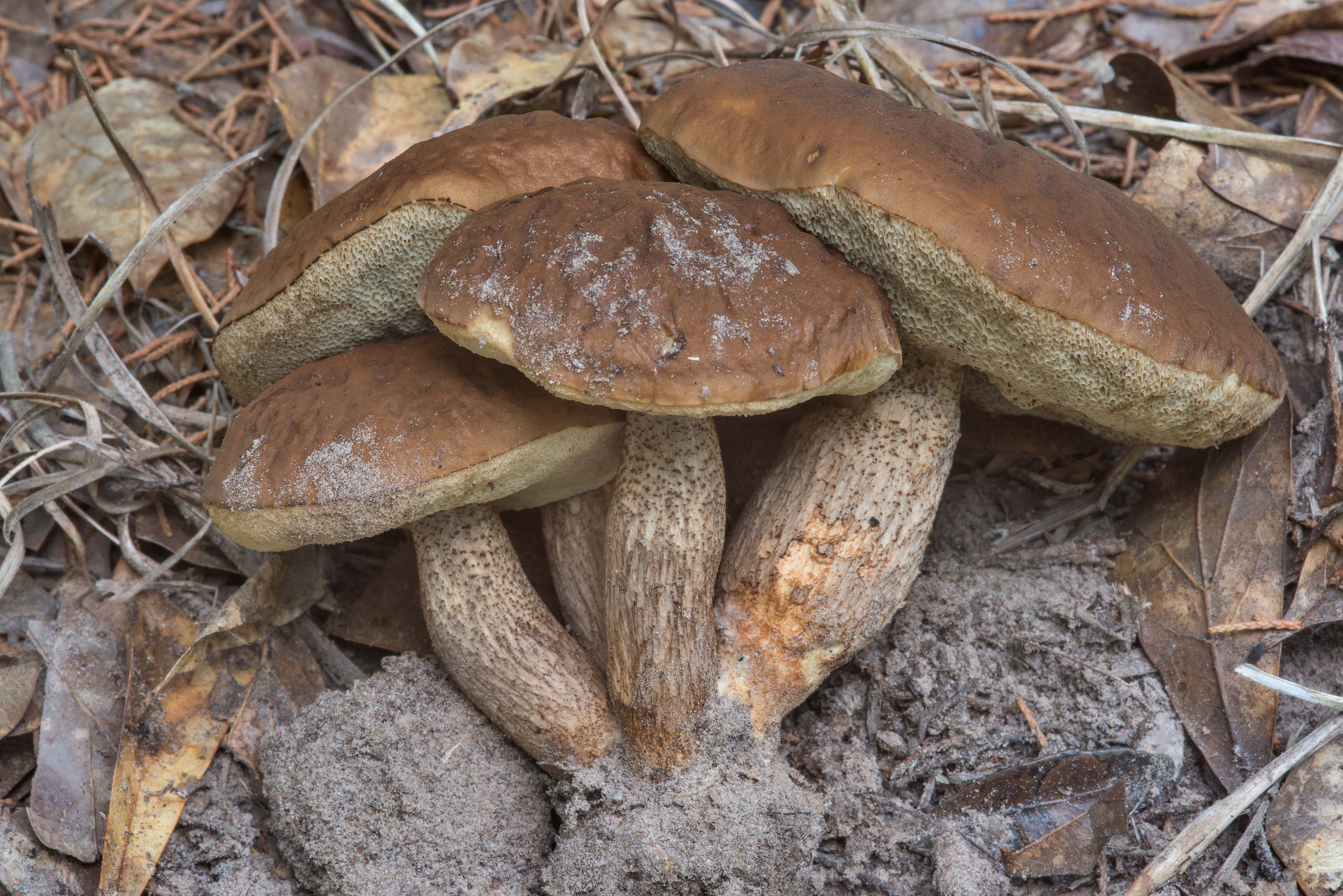 Side view of a cludter of bolete mushrooms...Creek Park. College Station, Texas