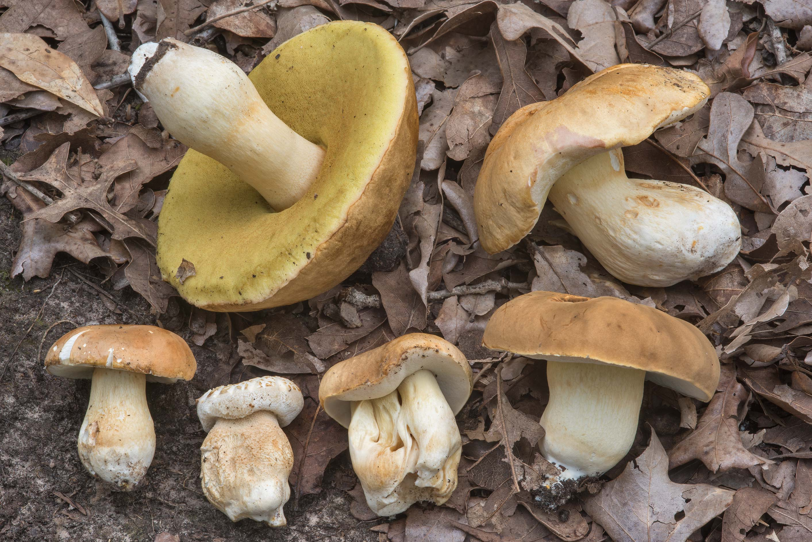 Group of six porcini mushrooms (Boletus edulis...Creek Park. College Station, Texas