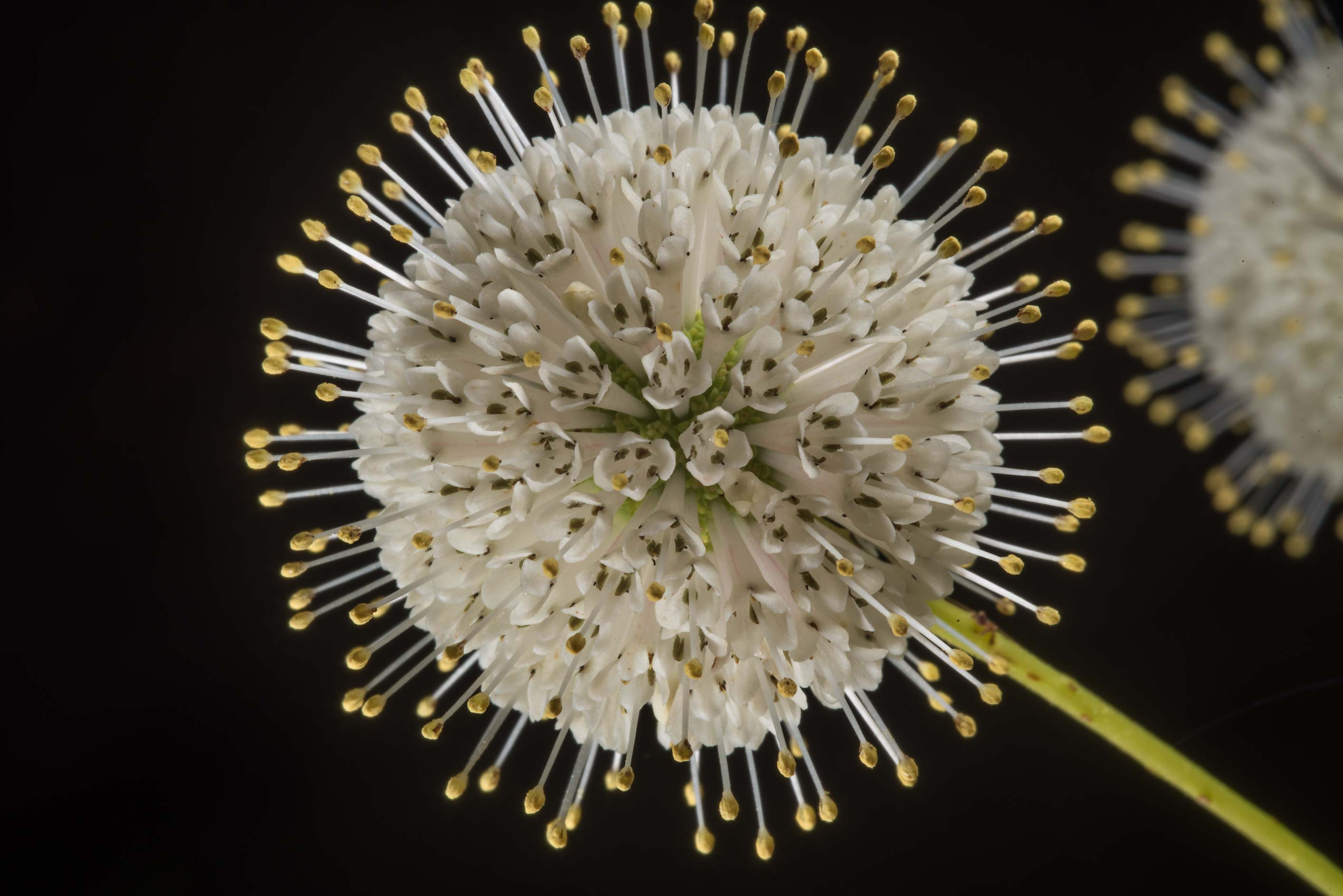 Globular flower of buttonbush (Cephalanthus...of Lake Somerville State Park, Texas