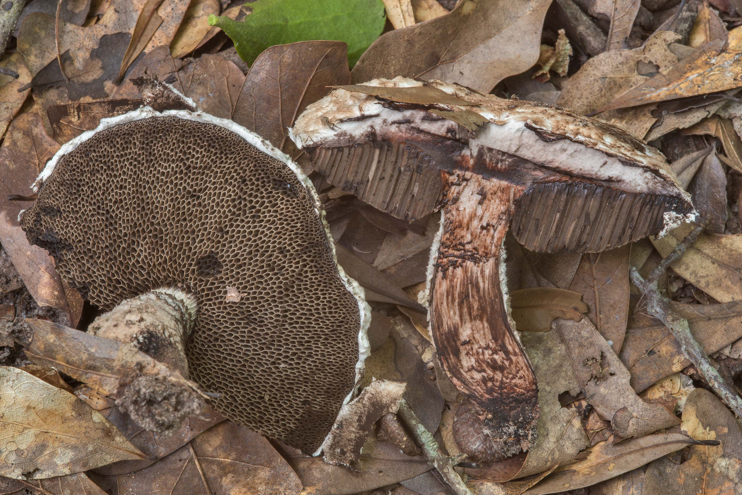 Dissected scaly bolete mushroom Strobilomyces...Creek Park. College Station, Texas