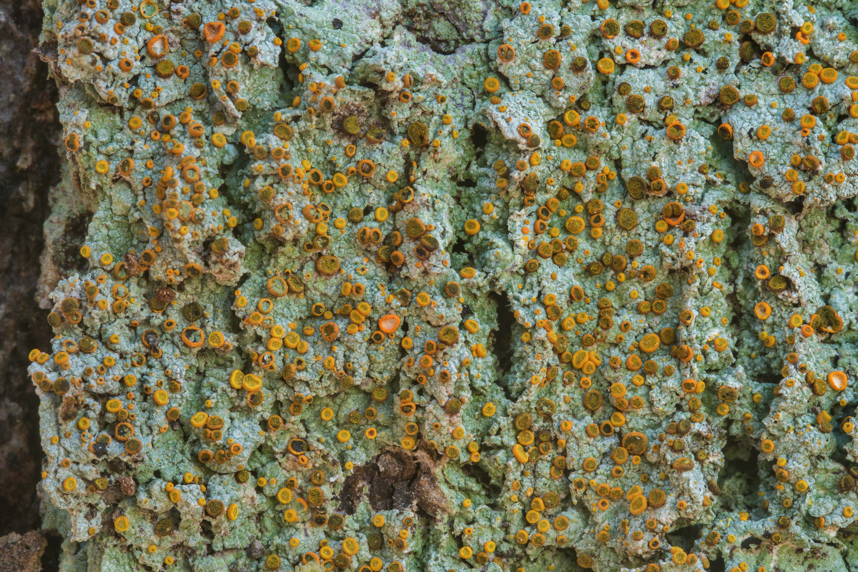 Texture of brick-spored firedot lichen...National Forest. Shepherd, Texas