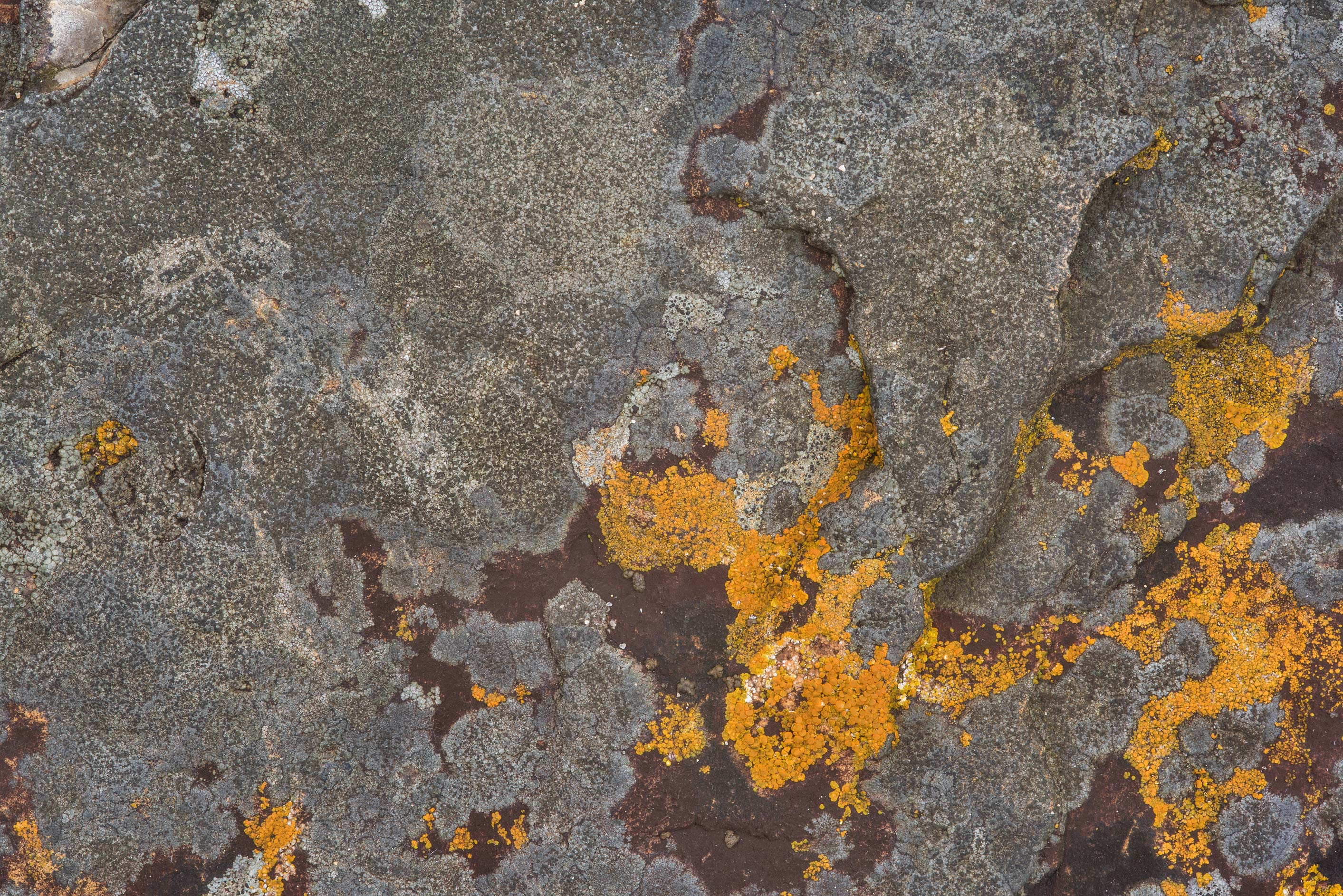 Brown and orange crustose lichens on limestone in...Falls State Park. Johnson City, Texas