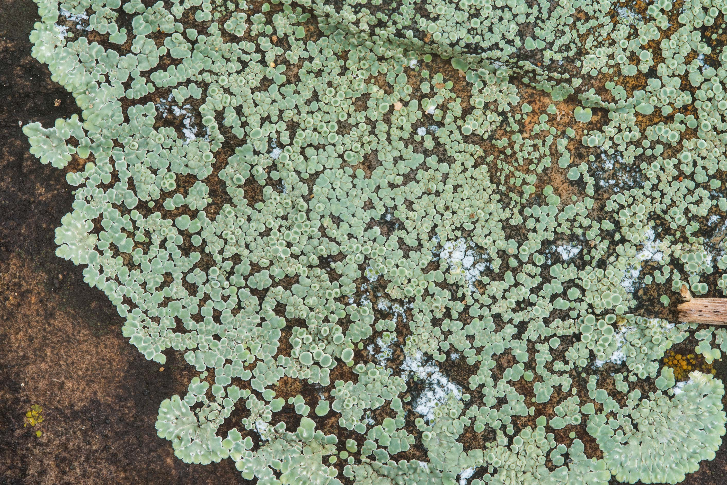 Stonewall rim-lichen (Lecanora muralis) in...Falls State Park. Johnson City, Texas