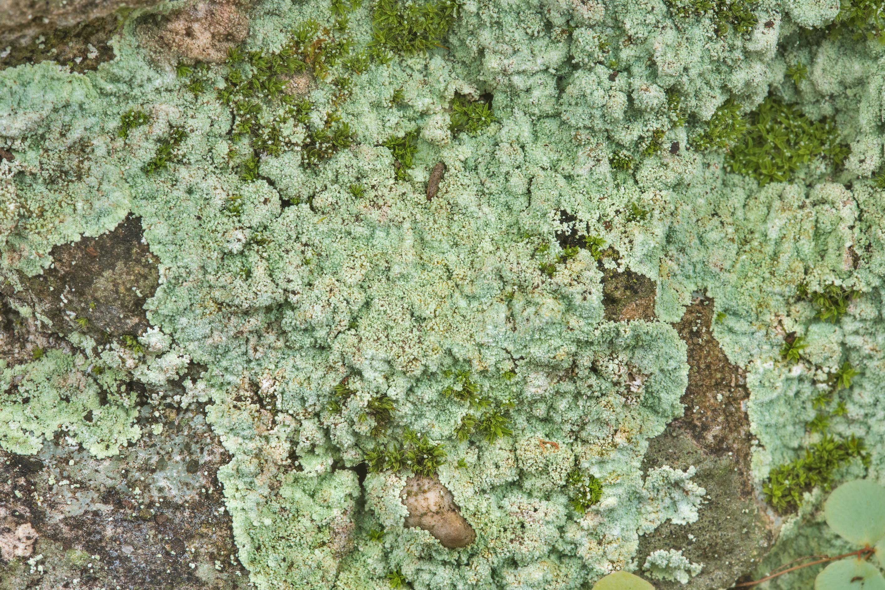 Dust lichen (Lepraria) on shaded rocks in a red...Falls State Park. Johnson City, Texas