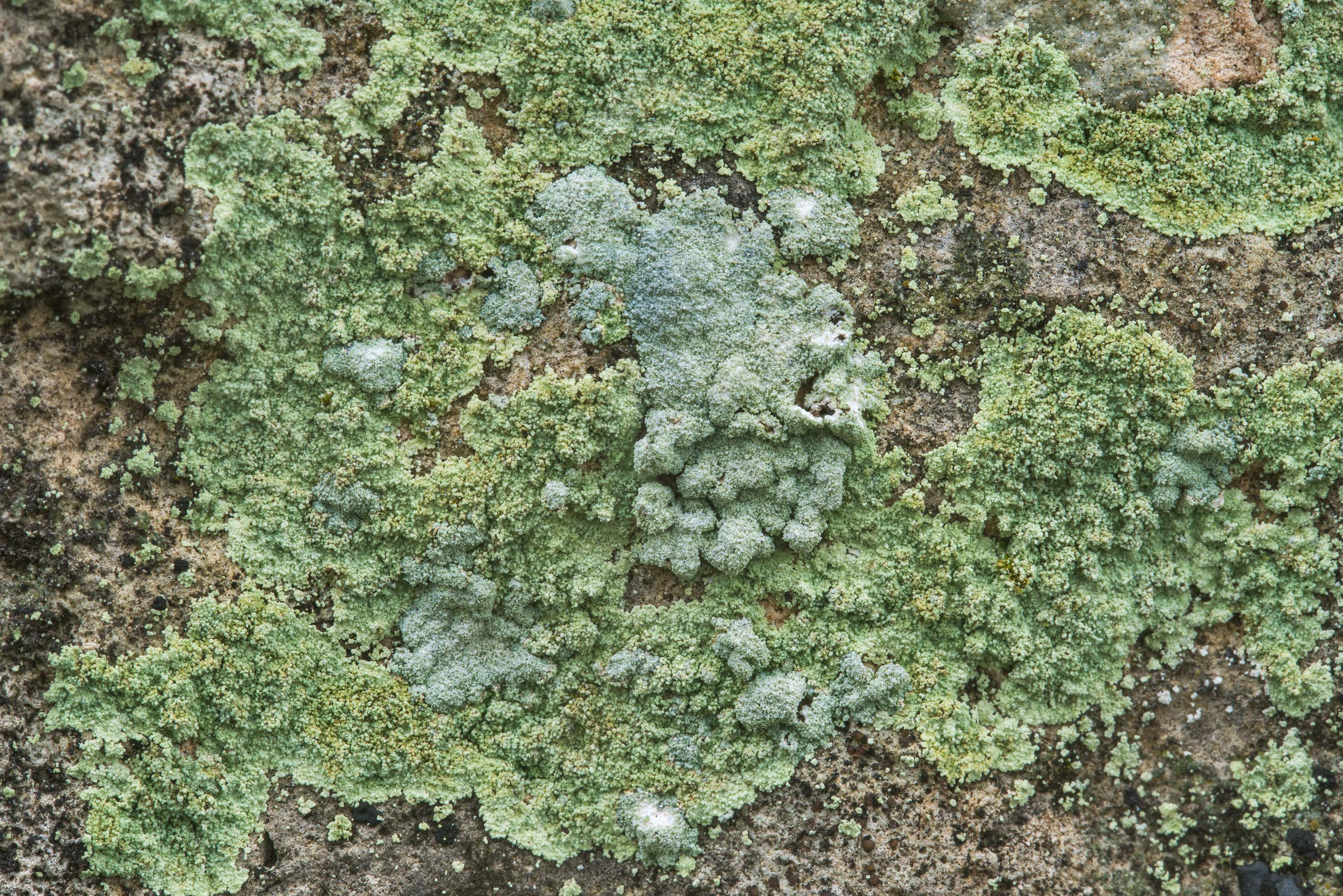 Dust lichen (Lepraria) on limestone in shade of...Falls State Park. Johnson City, Texas