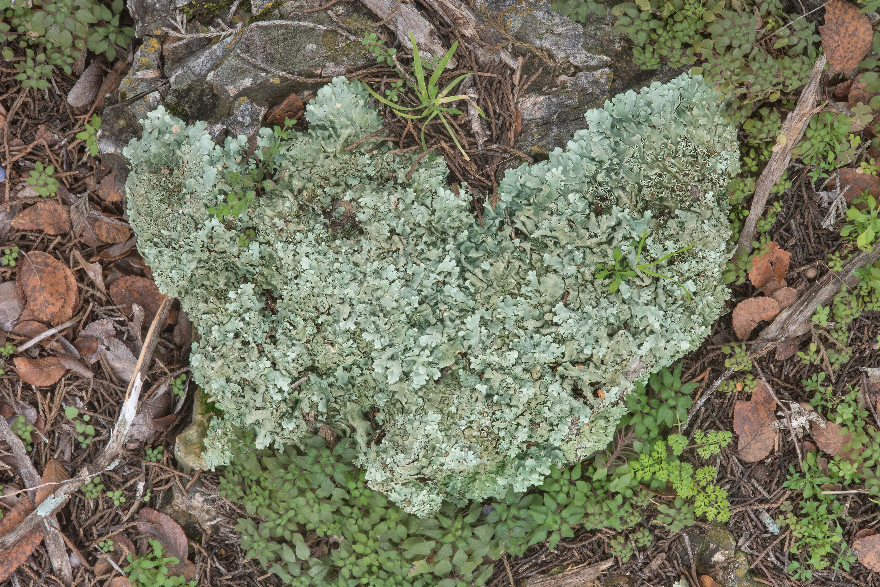 Rock shield lichen (Xanthoparmelia) on a...Falls State Park. Johnson City, Texas