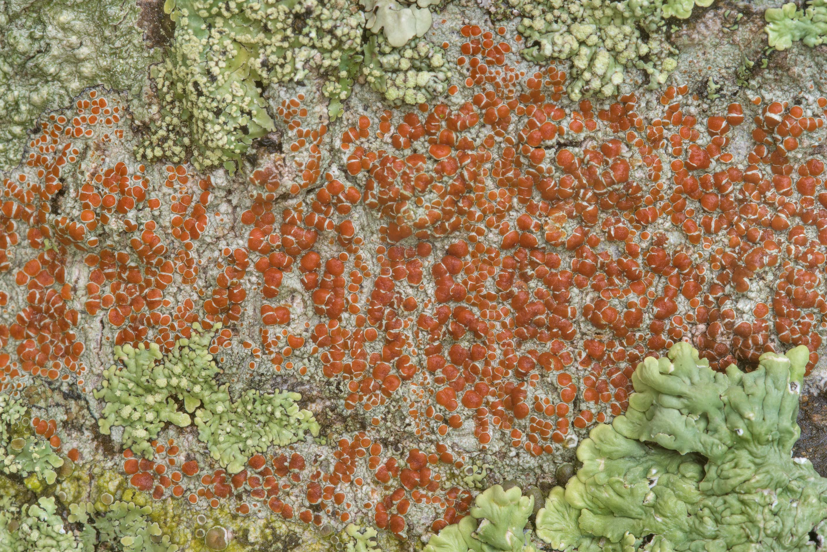 Sunken bloodspot lichen (Haematomma persoonii) on...State Historic Site. Washington, Texas