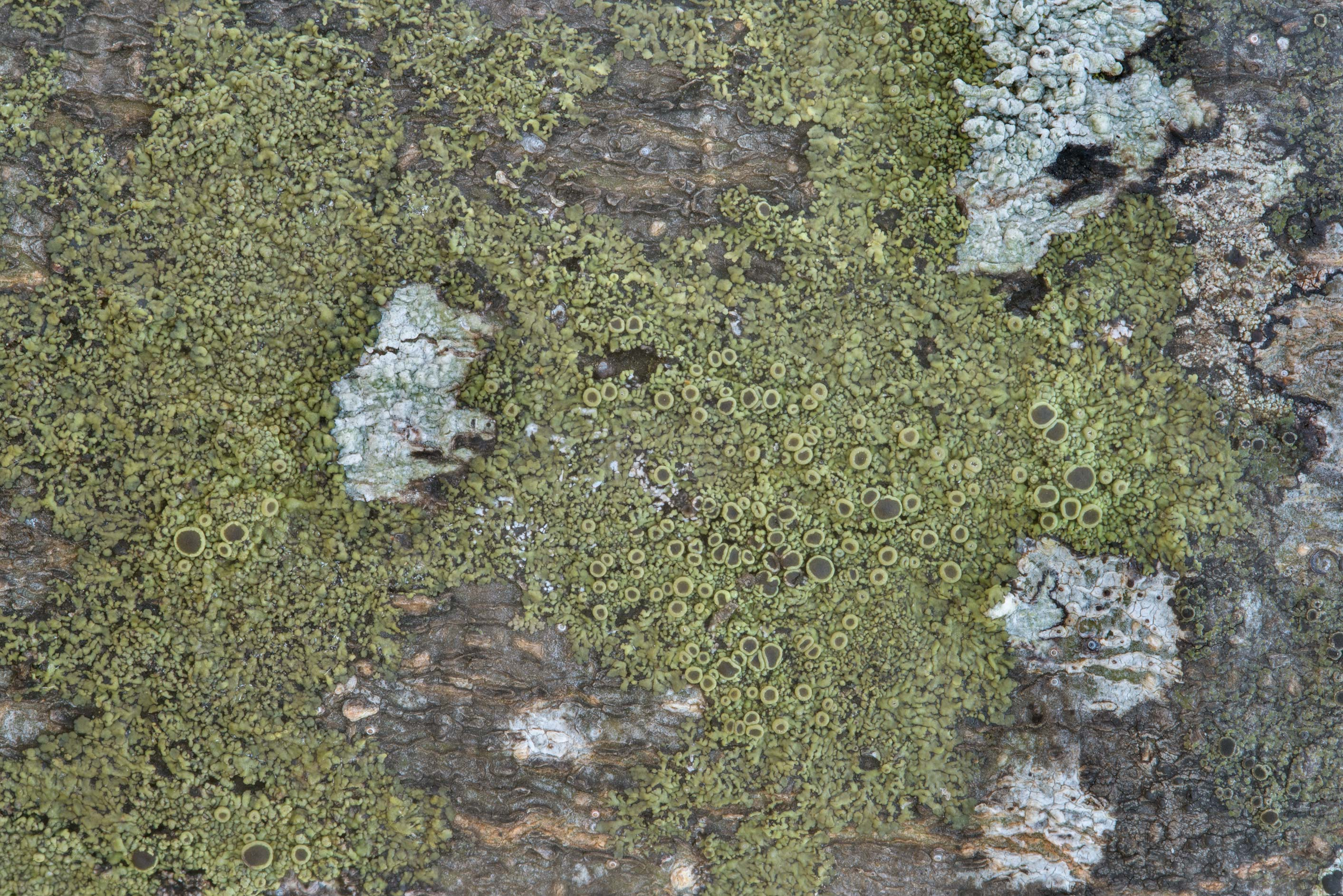 Olive patch of smooth shadow-crust lichen...State Historic Site. Washington, Texas