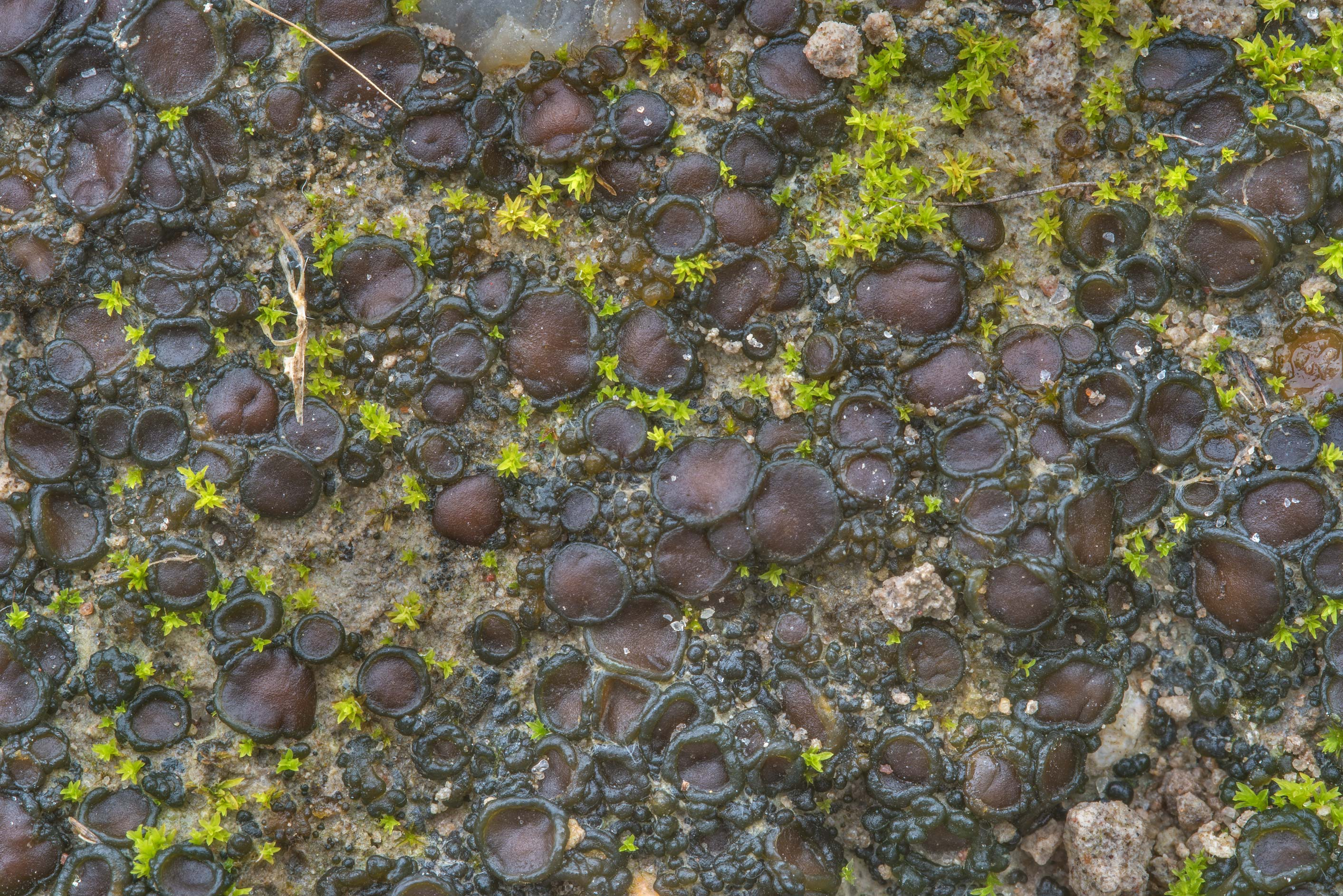Tar-jelly lichen (Collema tenax) on a trodden...Ashburn St.. College Station, Texas