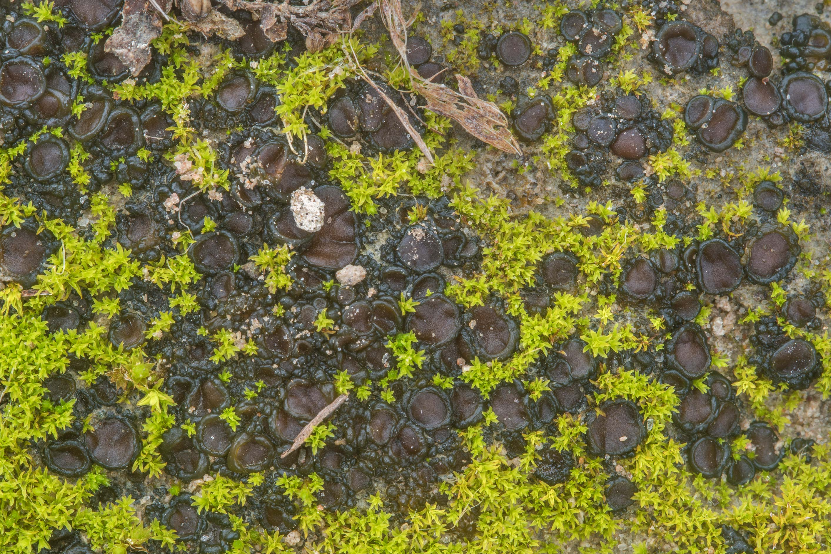 Tar-jelly lichen (Collema tenax) with moss on a...Ashburn St.. College Station, Texas
