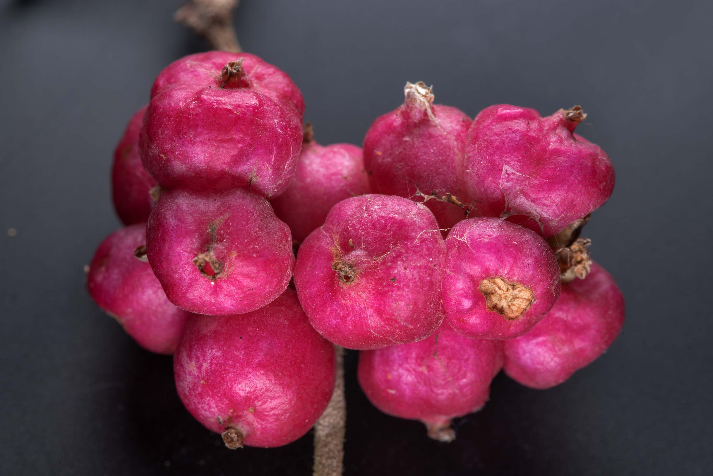 Pink fruits of coralberry (Indian currant...Creek Park. College Station, Texas