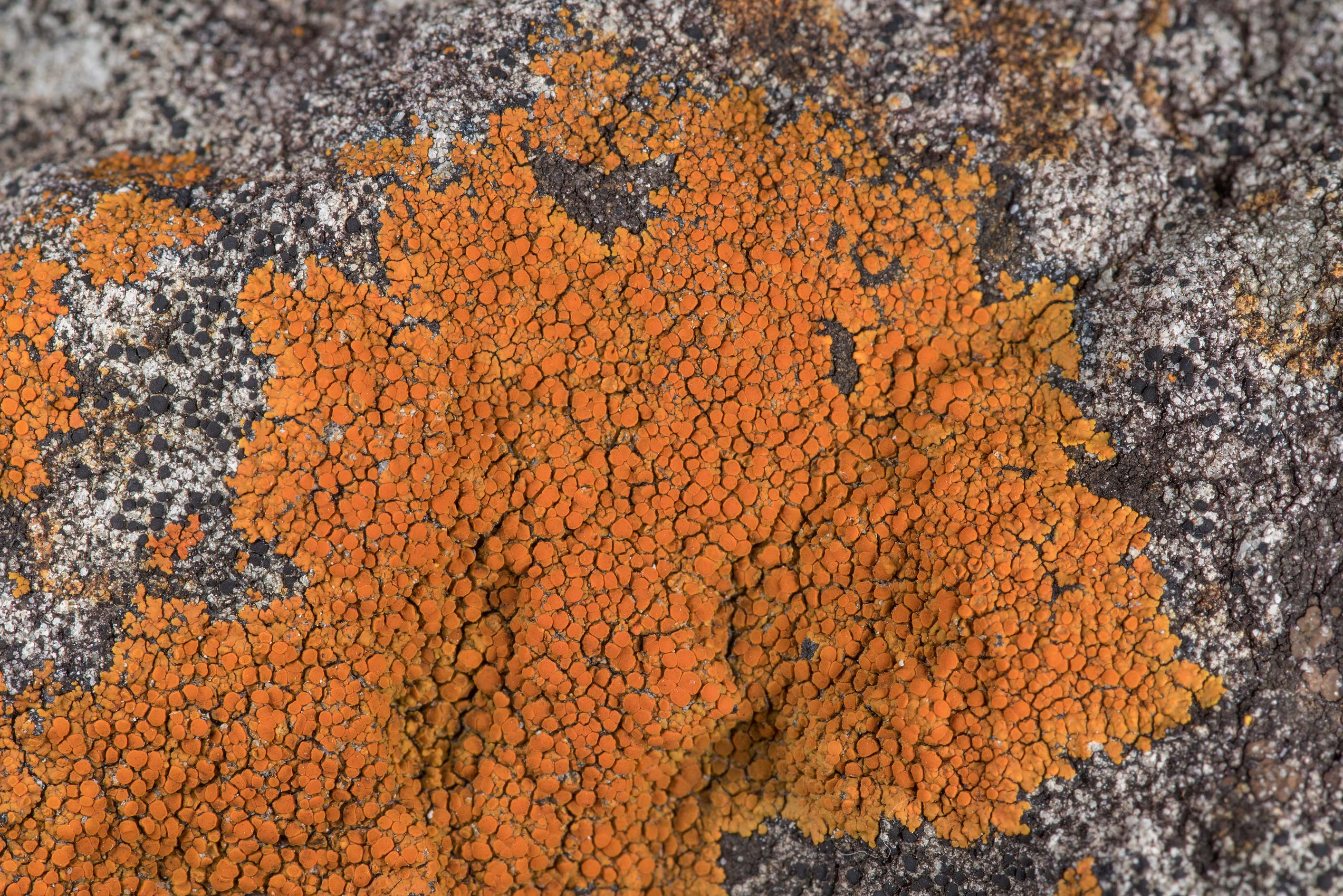 Firedot lichen Caloplaca squamosa on sandstone at...of Somerville Lake State Park. Texas