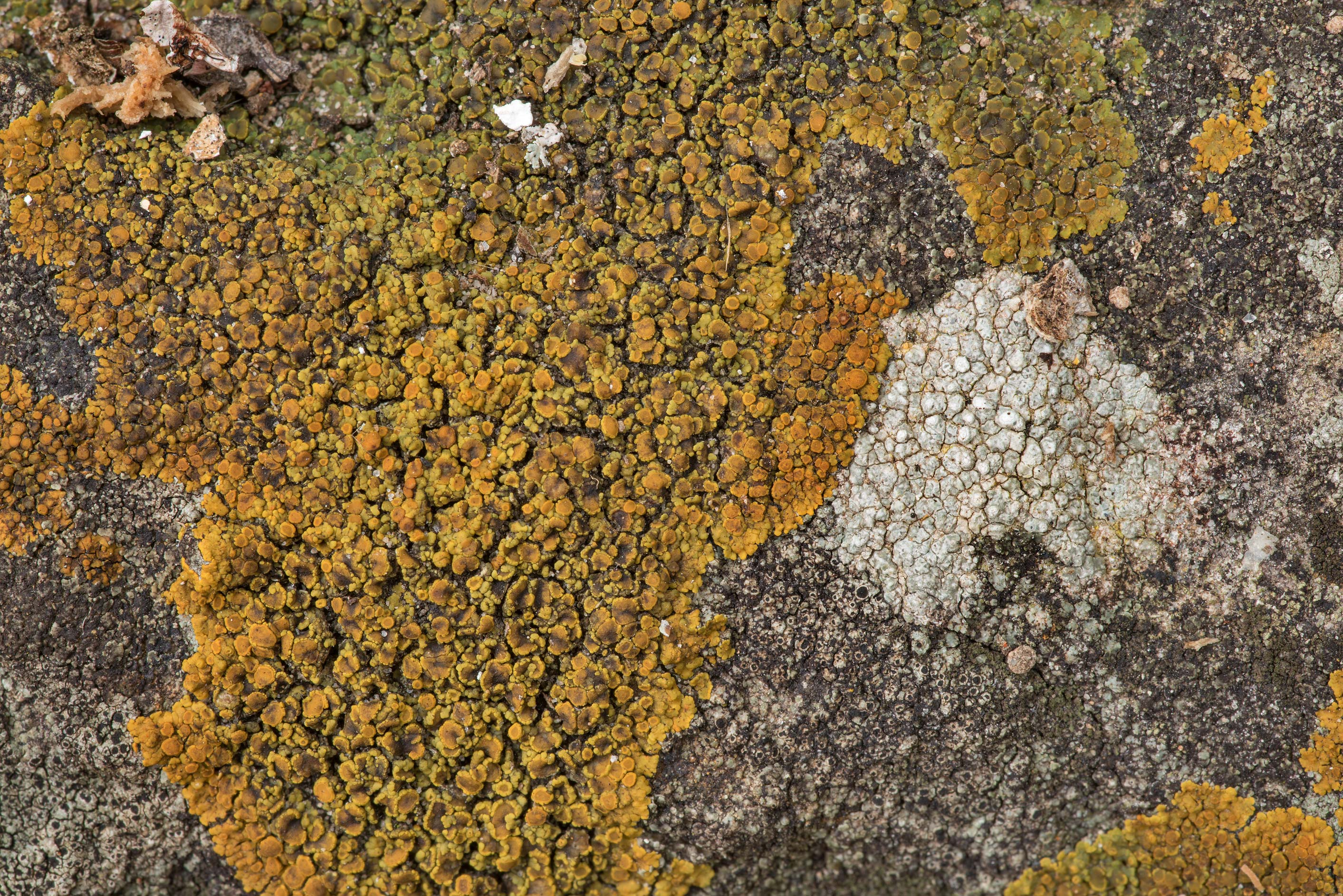 Firedot lichen Squamulea squamosa (Caloplaca...of Somerville Lake State Park. Texas