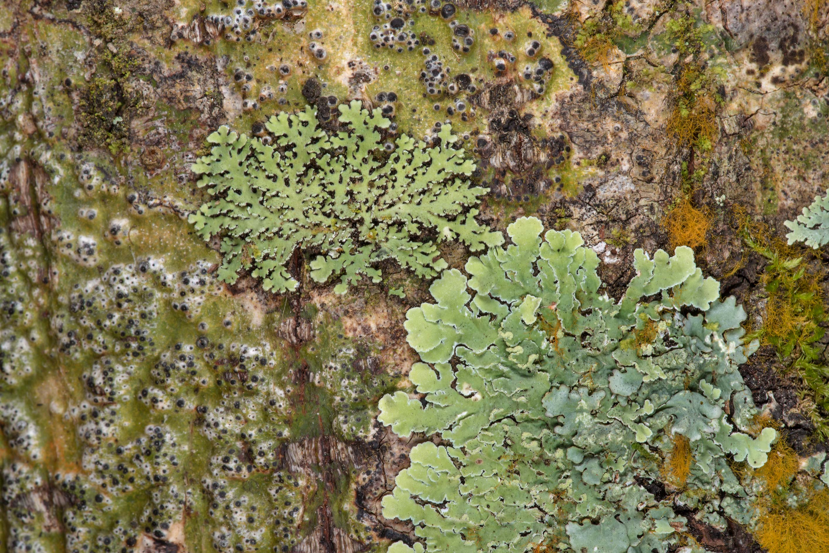 Heterodermia and streaked rosette lichen (Physcia...National Forest near Huntsville. Texas