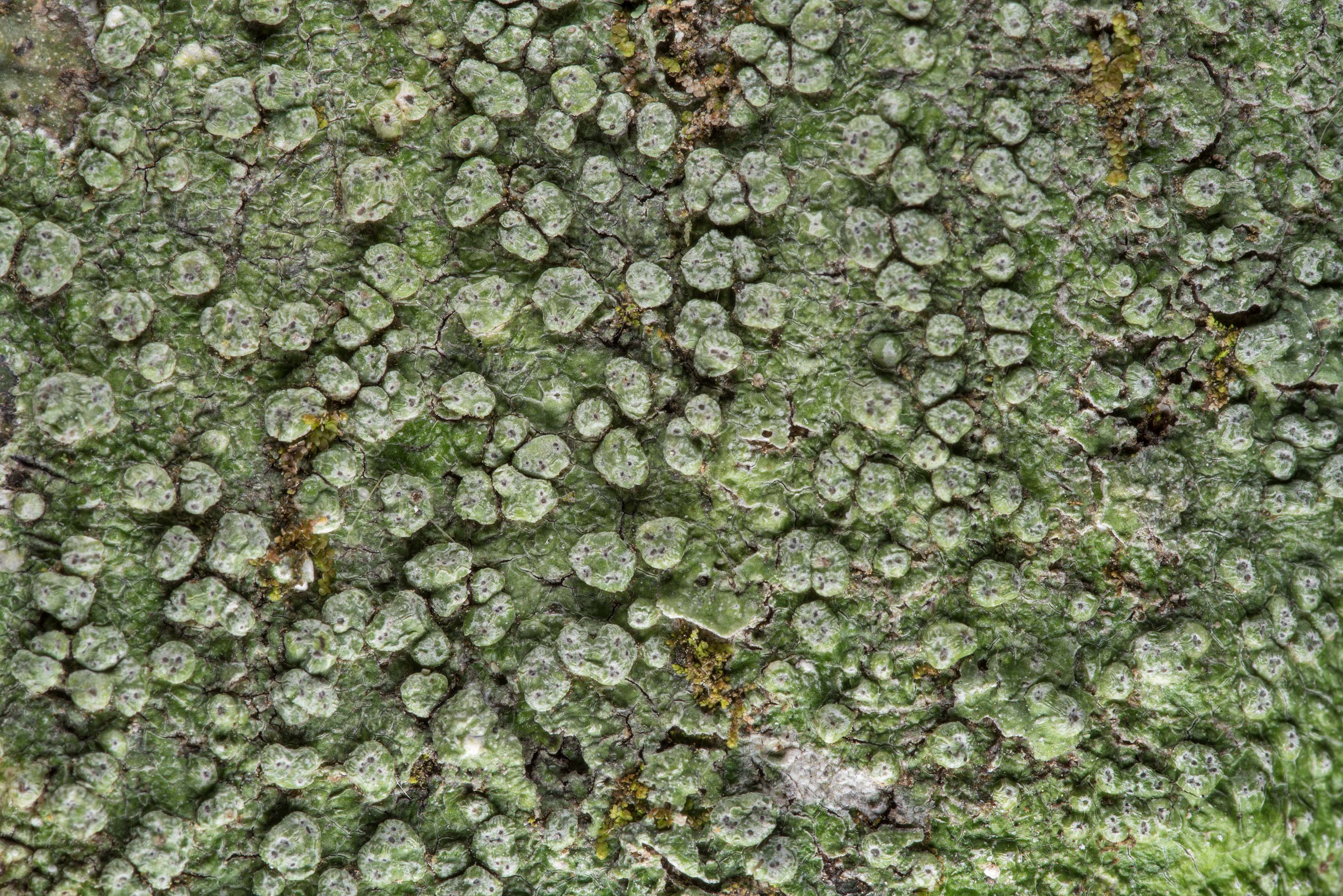 Warty lichen (Pertusaria) on Caney Creek section...National Forest near Huntsville. Texas