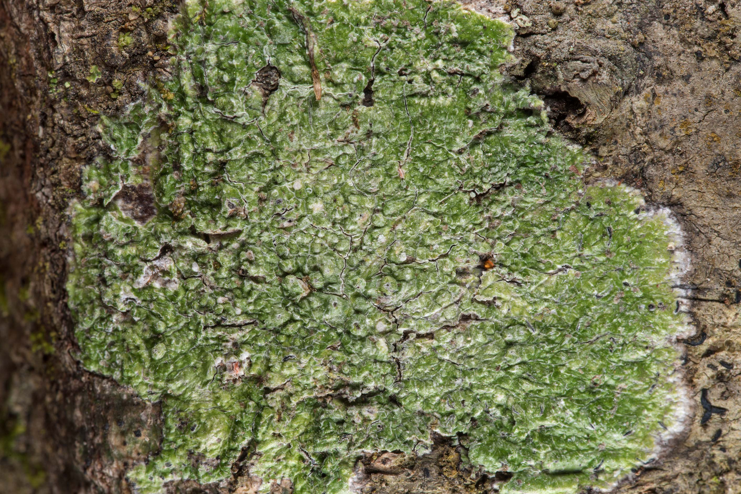 Green crustose lichen Pertusaria on Caney Creek...National Forest near Huntsville. Texas