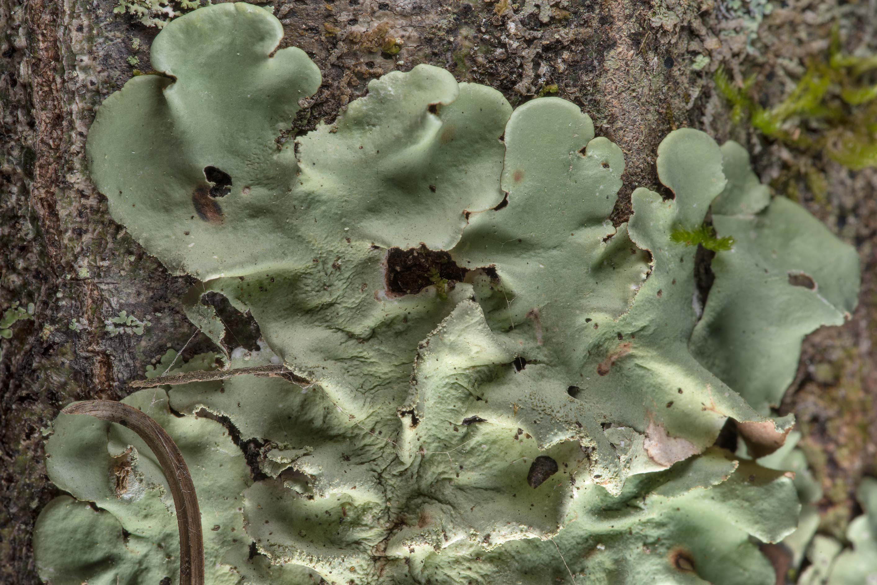Palm ruffle lichen (Parmotrema tinctorum) on...National Forest near Huntsville. Texas