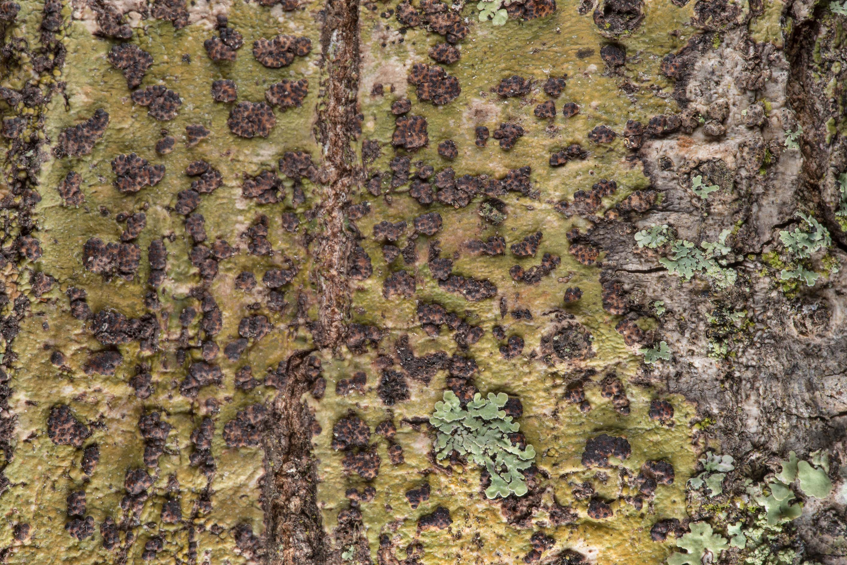 Warty lichen Trypethelium carolinianum (Bathelium...National Forest near Huntsville. Texas