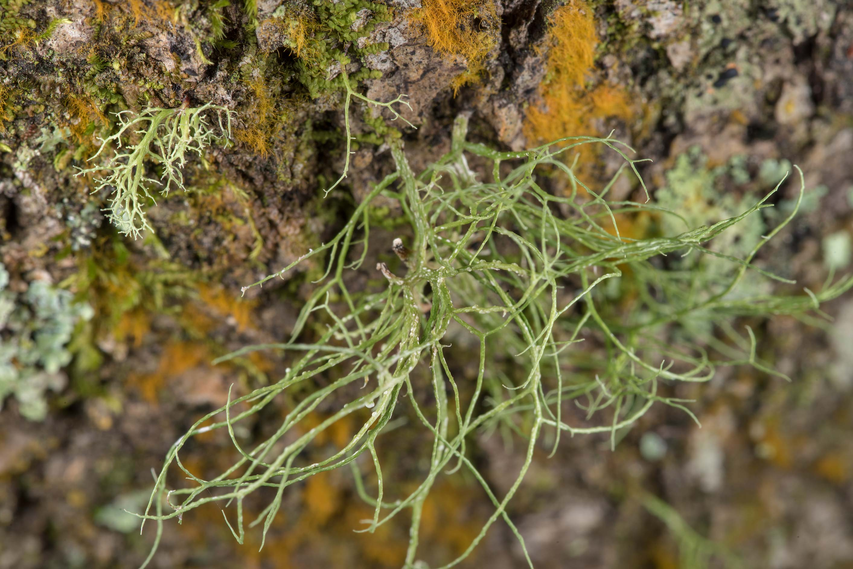 Ramalina peruviana lichen on a tree in a forest...National Forest near Huntsville. Texas