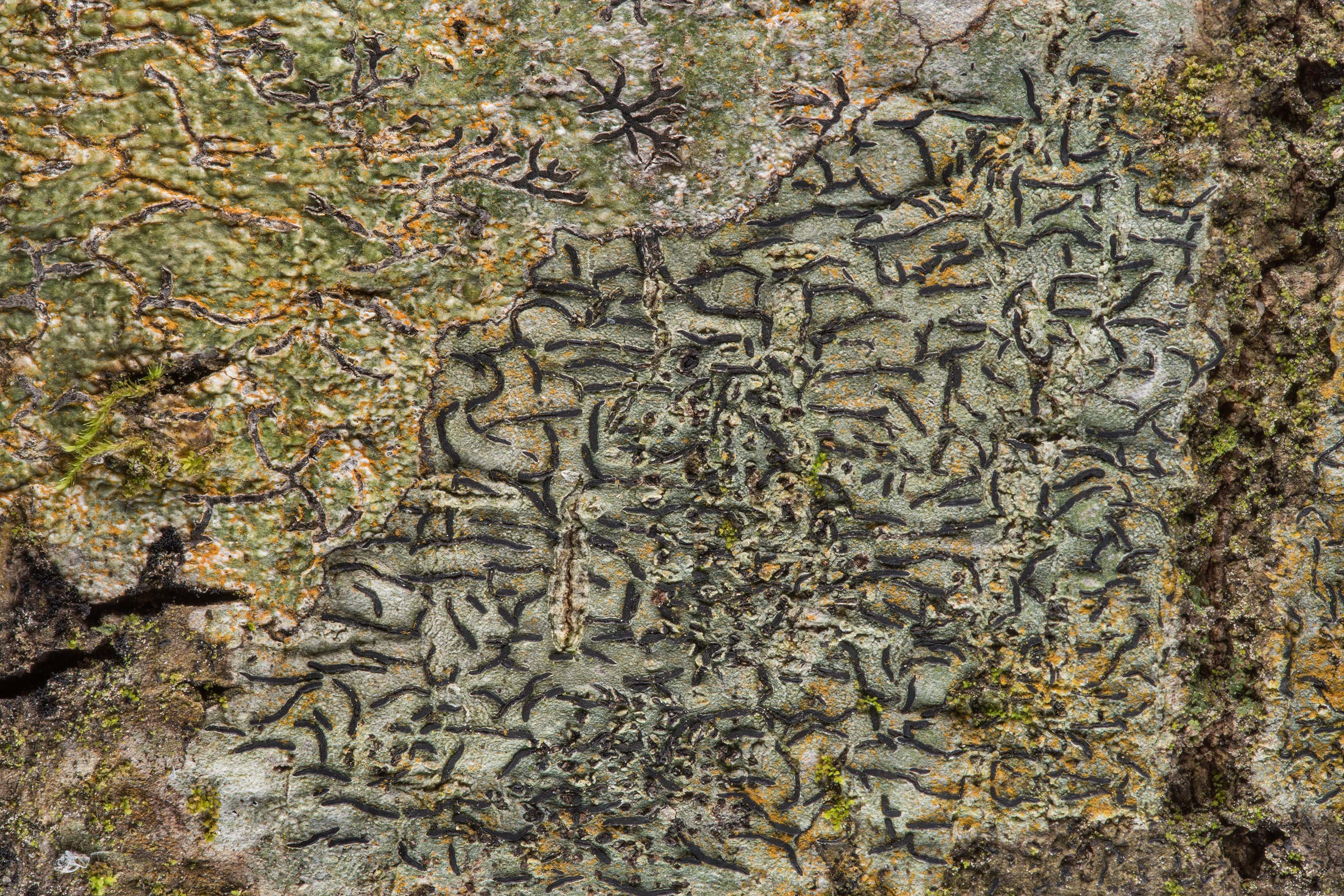 Script lichen (Graphis) on Caney Creek section of...National Forest near Huntsville. Texas