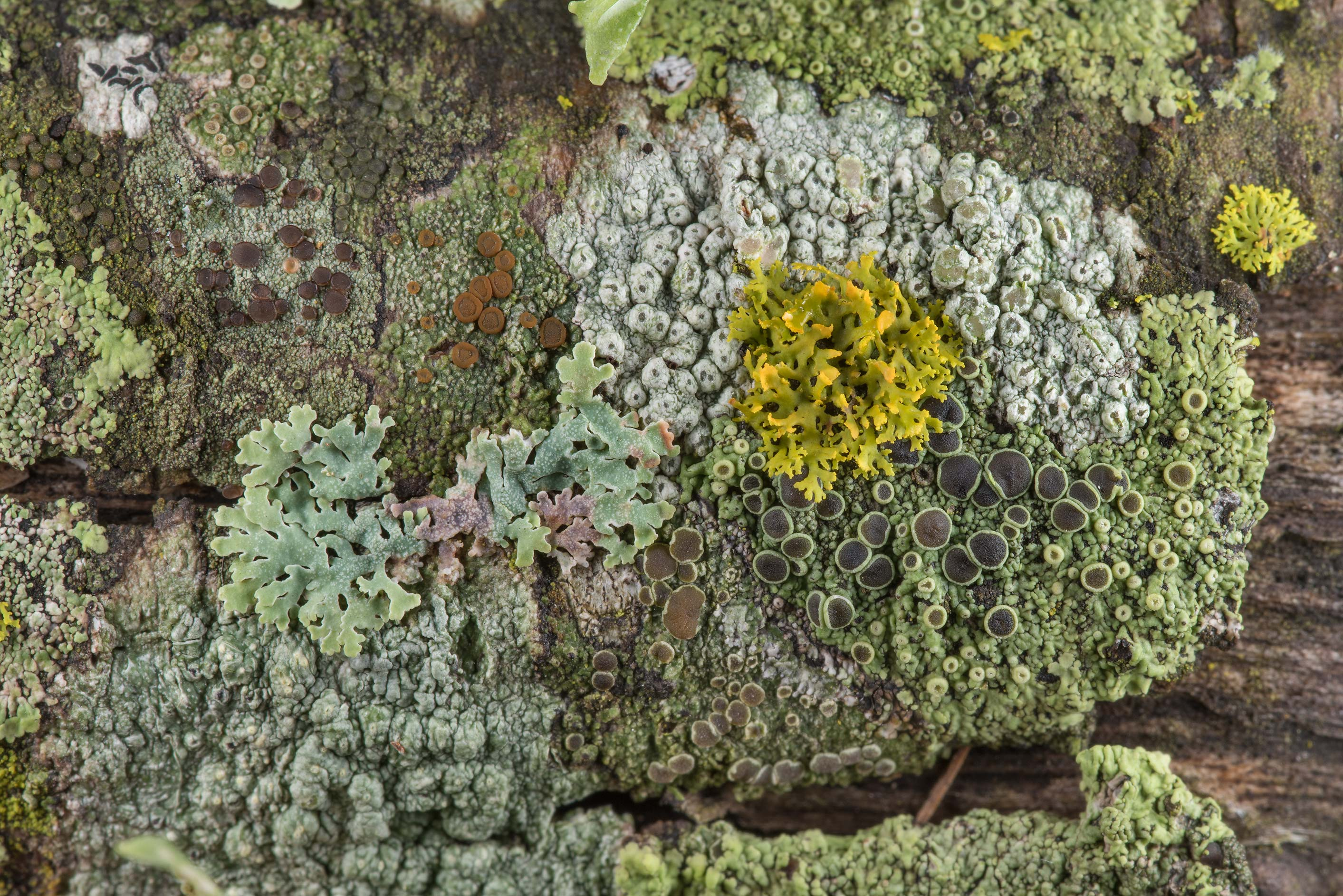 Multicolored lichens covering lower branches of...near Park Hudson Trail. Bryan, Texas
