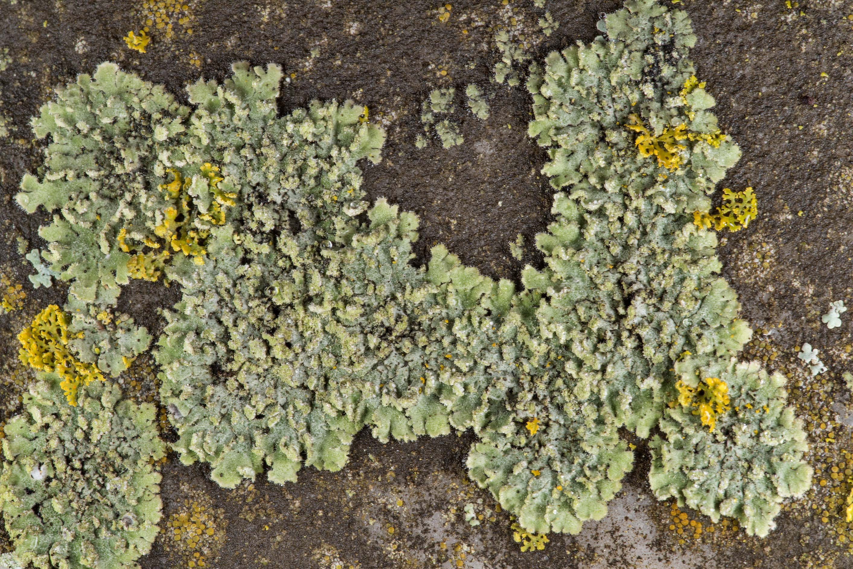 Pattern of powdered shadow lichen (Phaeophyscia...in Boonville Cemetery. Bryan, Texas