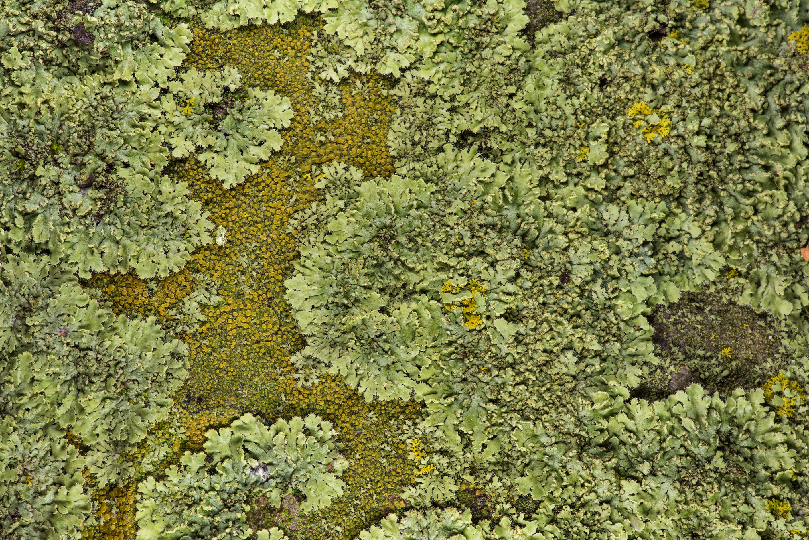Texture of powdered shadow lichen (Phaeophyscia...in Boonville Cemetery. Bryan, Texas