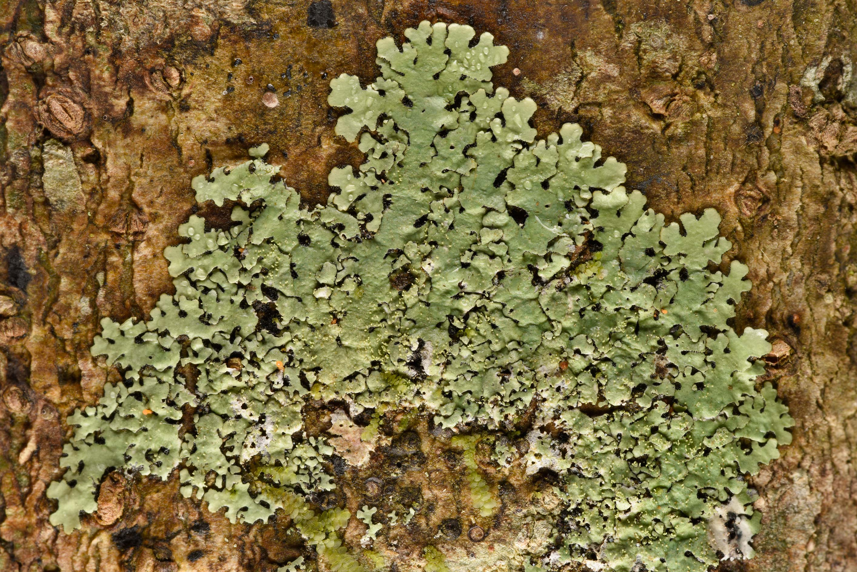 Parmelinopsis minarum or may be Bulbothrix lichen...National Forest. Shepherd, Texas