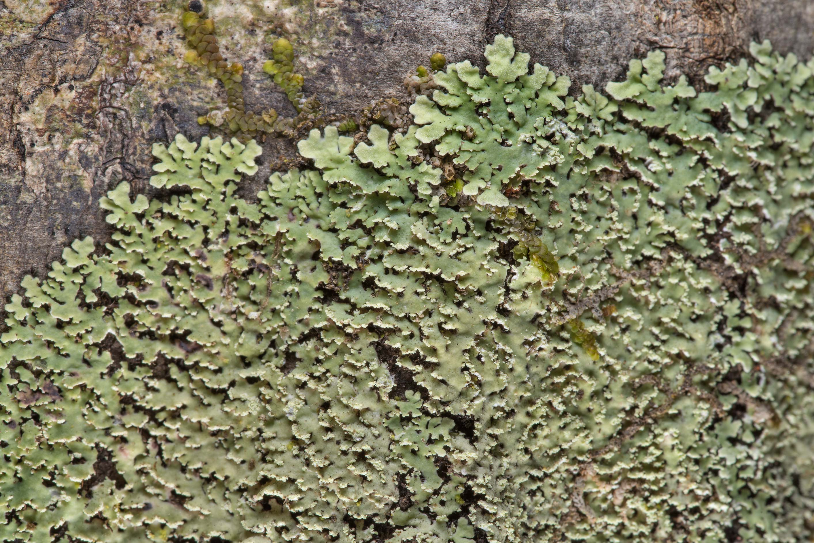 White fringe lichen (Heterodermia albicans) on a...National Forest. Shepherd, Texas