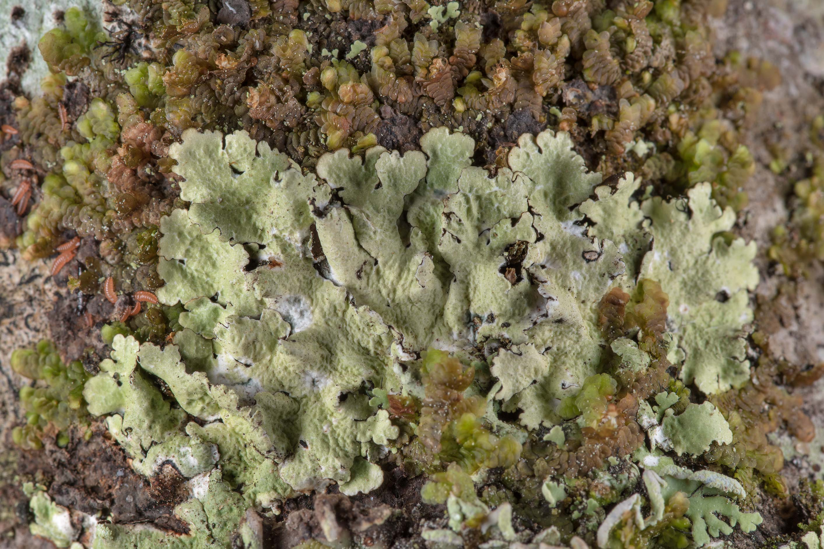 Parmotrema lichen in Big Creek Scenic Area of Sam Houston National Forest. Shepherd, Texas