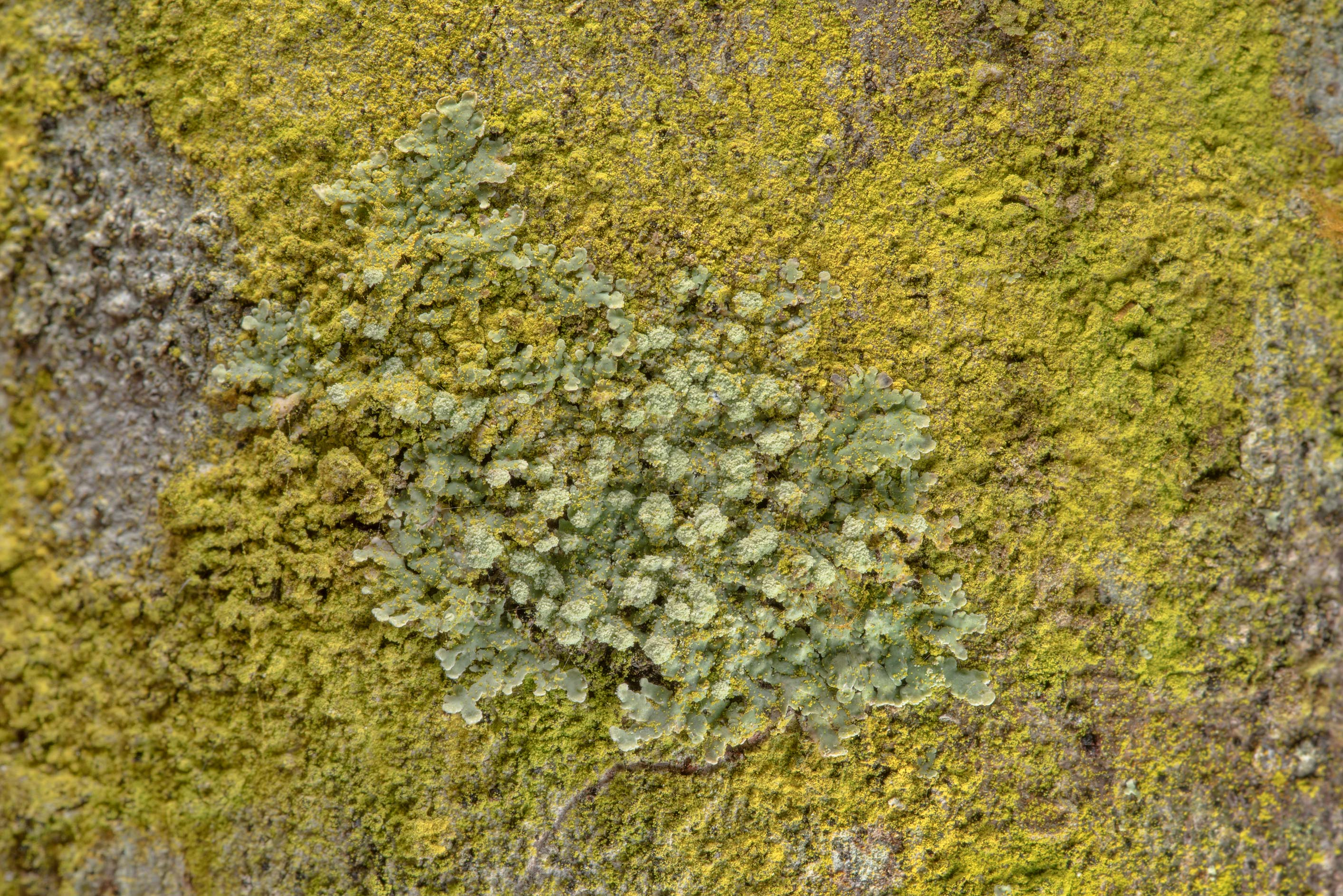 Golden dust lichen Chrysothrix xanthina with a...National Forest. Shepherd, Texas