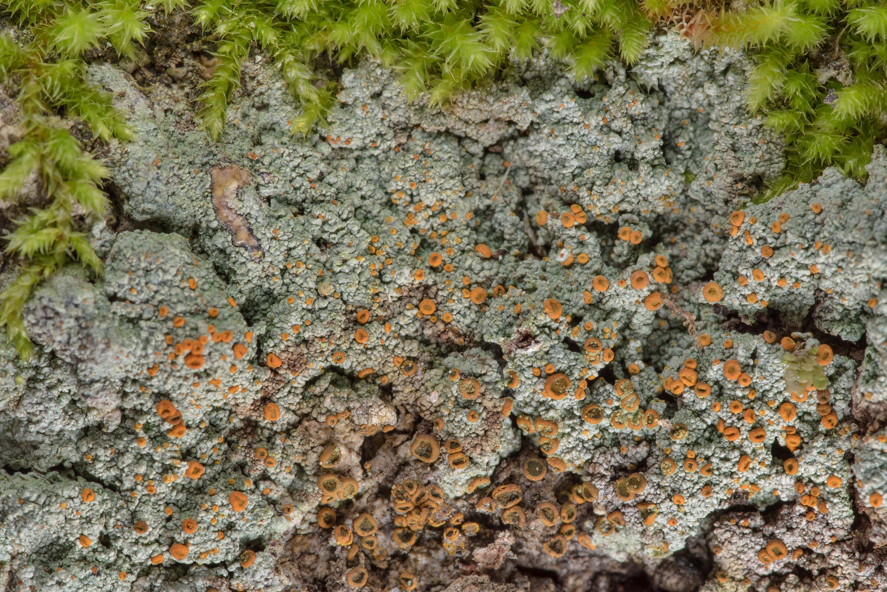 Old patch of brick-spored firedot lichen...National Forest. Shepherd, Texas