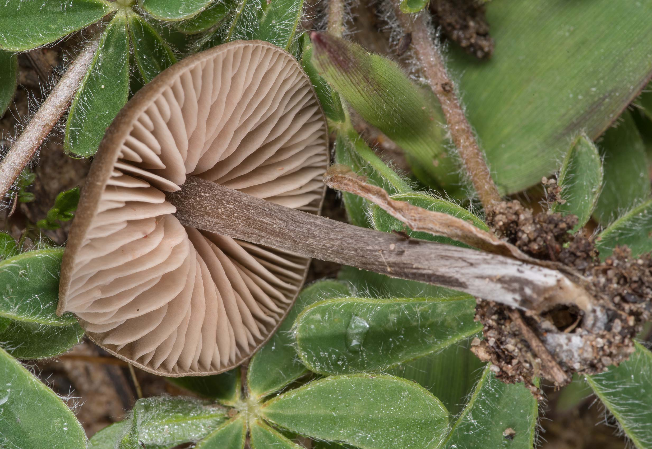 Gills of a small Nolanea mushroom on a meadow in...State Historic Site. Washington, Texas