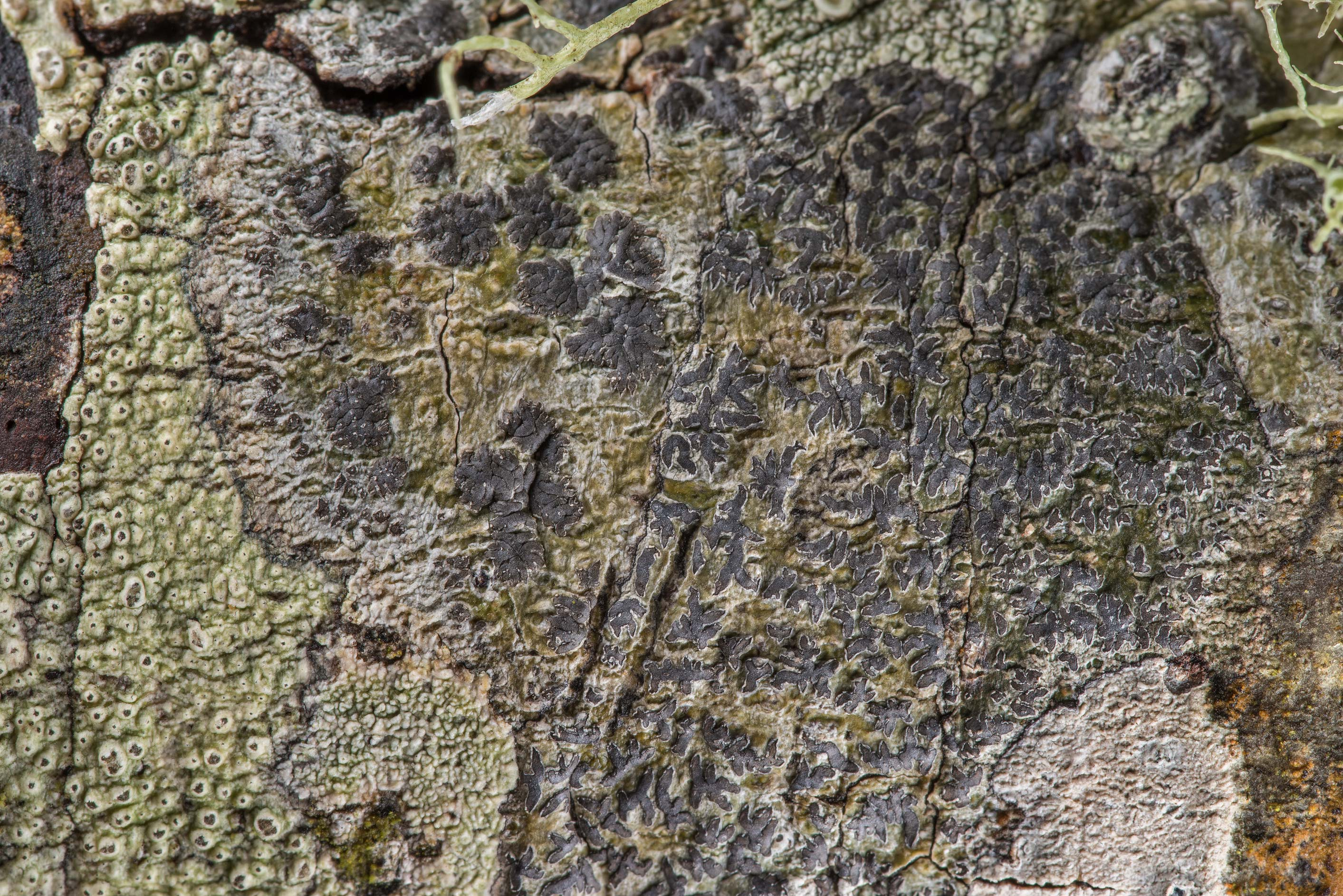 Phaeographis lichen on an oak in Lick Creek Park. College Station, Texas