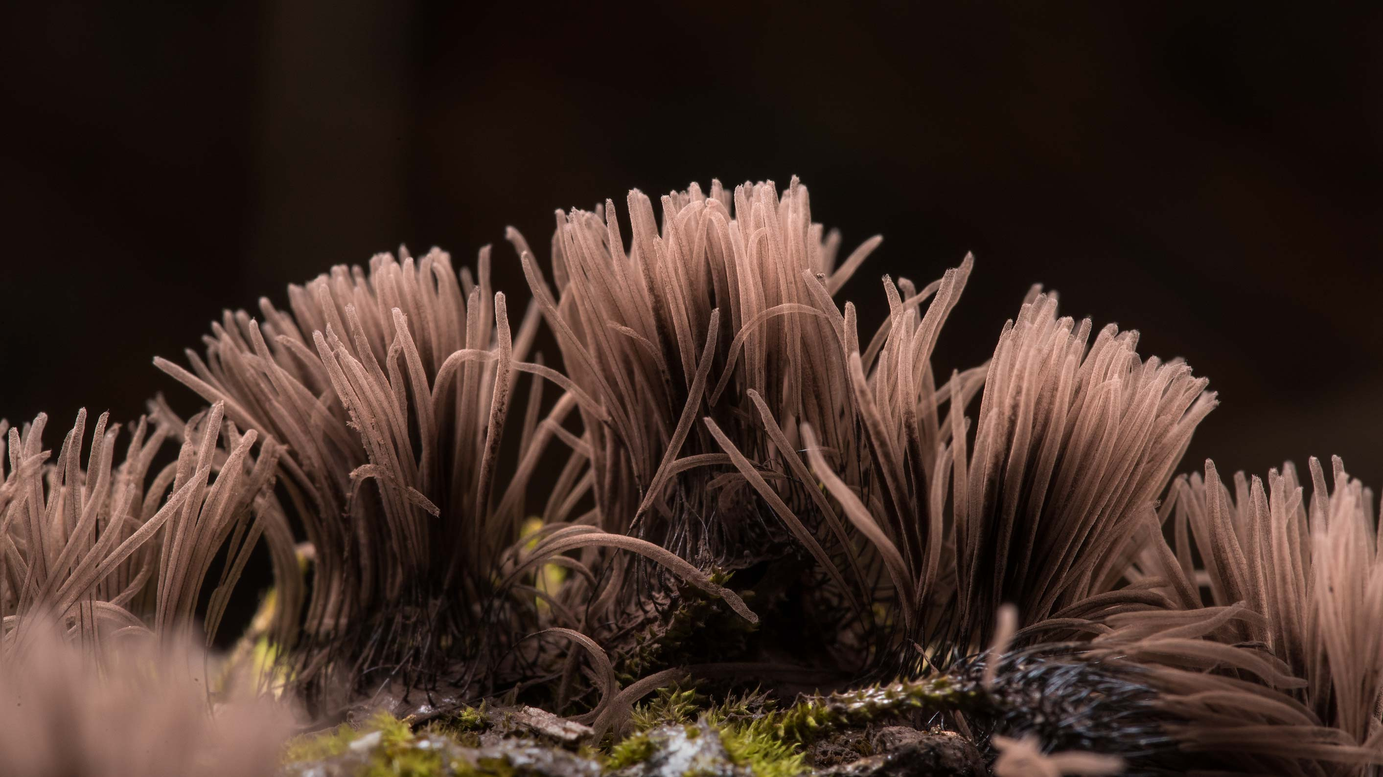 Brown sporangia of chocolate tube slime mold...National Forest. Richards, Texas