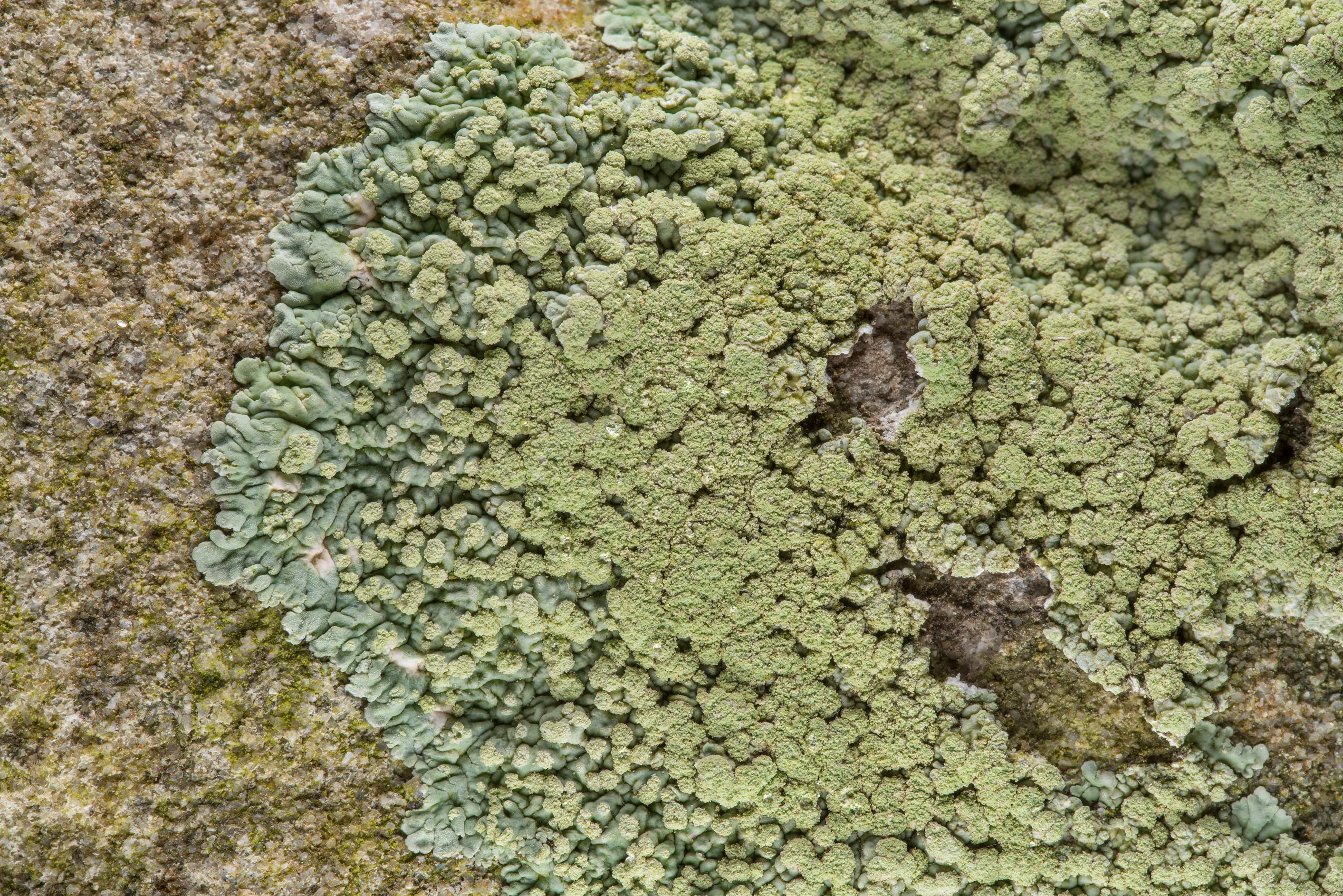 Greenish buttoned rosette lichen (Pyxine) on a...Cemetery near Independence. Texas