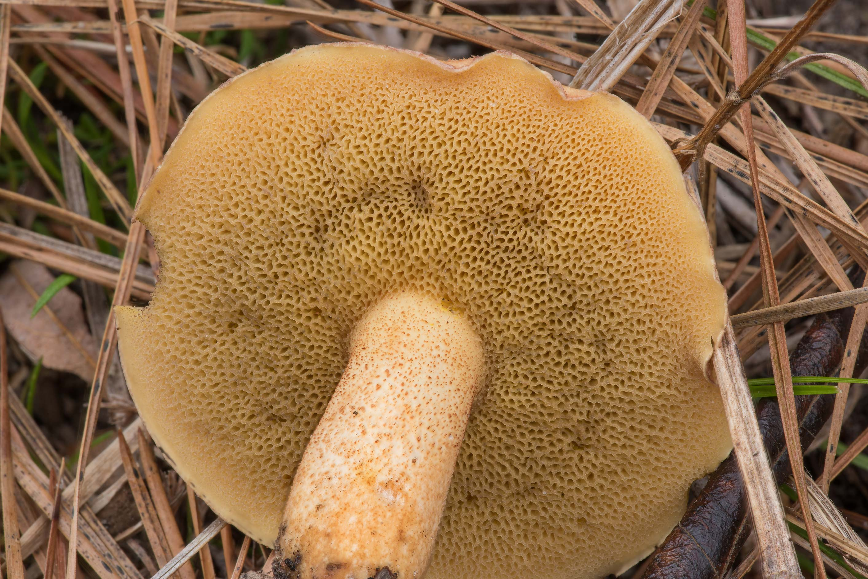 Underside of bolete mushroom Suillus hirtellus on...National Forest. Richards, Texas