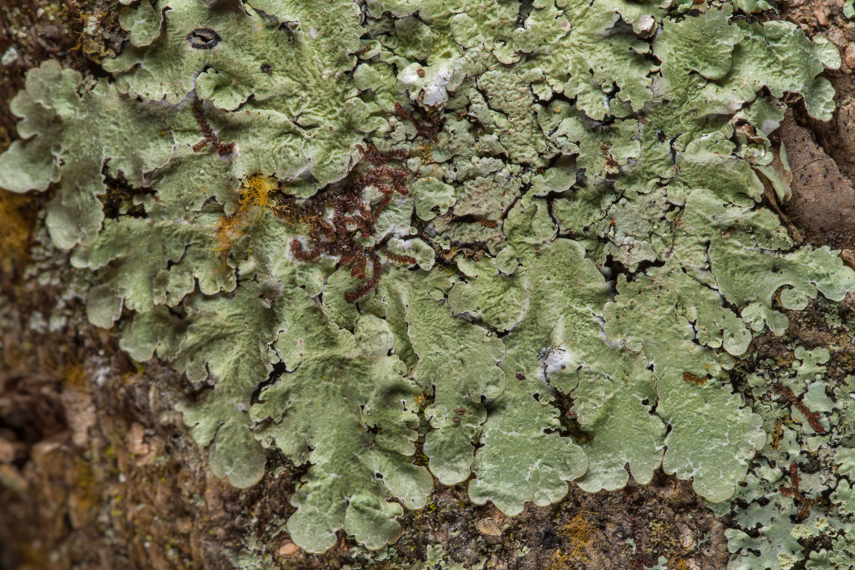 Carolina shield lichen (Canoparmelia caroliniana...National Forest near Huntsville. Texas