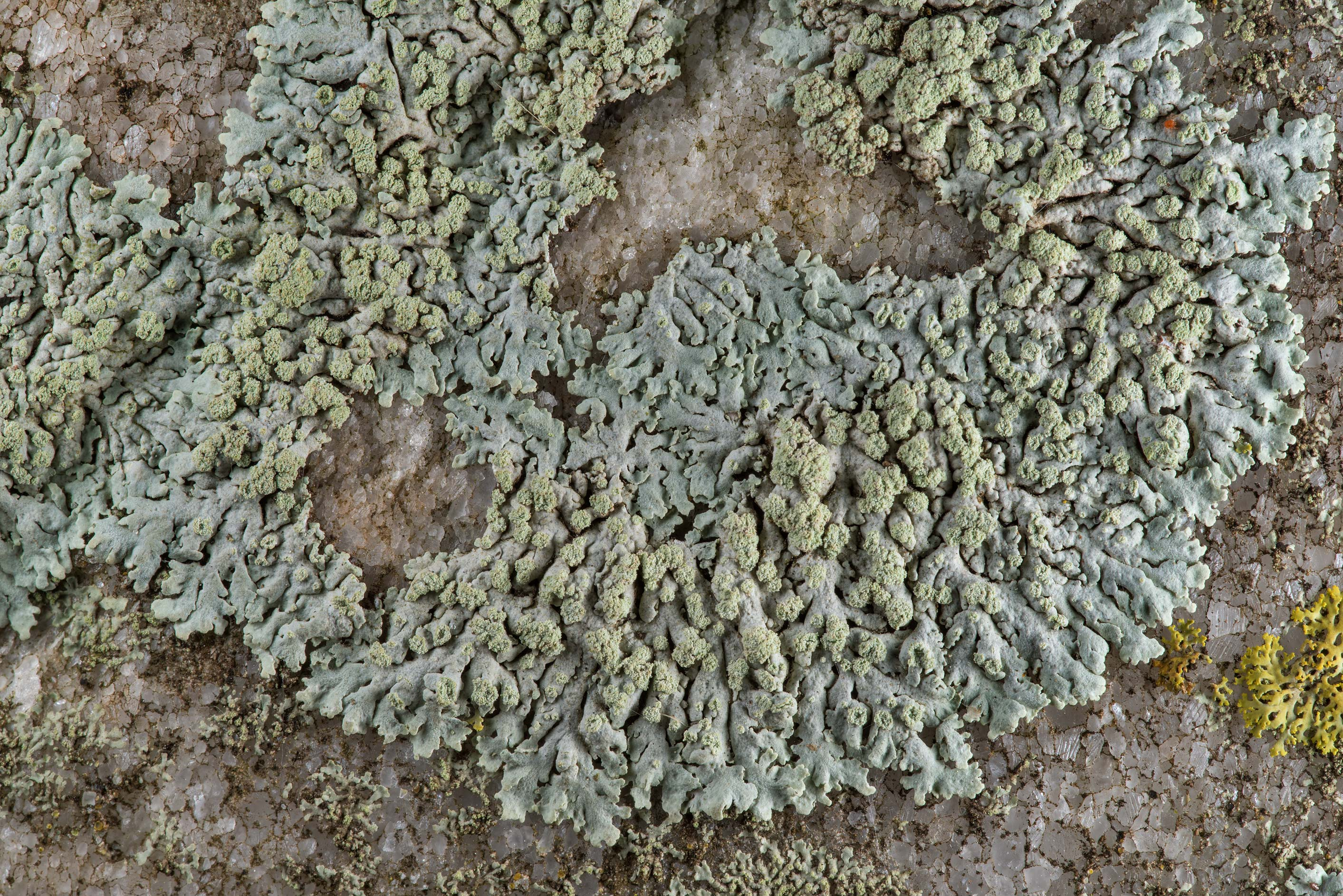Rosette lichen (Physcia) with soredia on a tomb...Cemetery near Huntsville, Texas