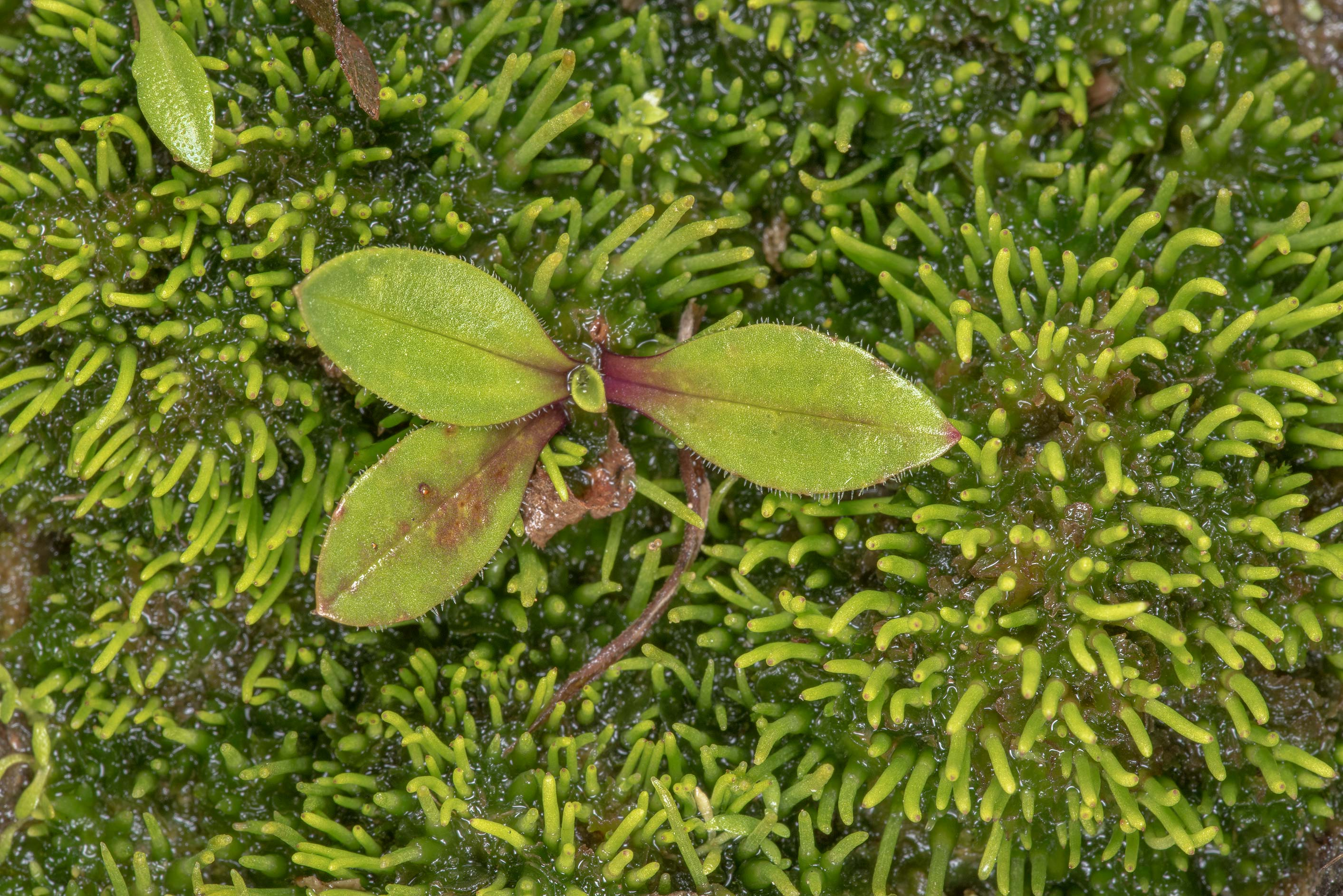 Winter rosette of some plant among smooth...Creek Park. College Station, Texas