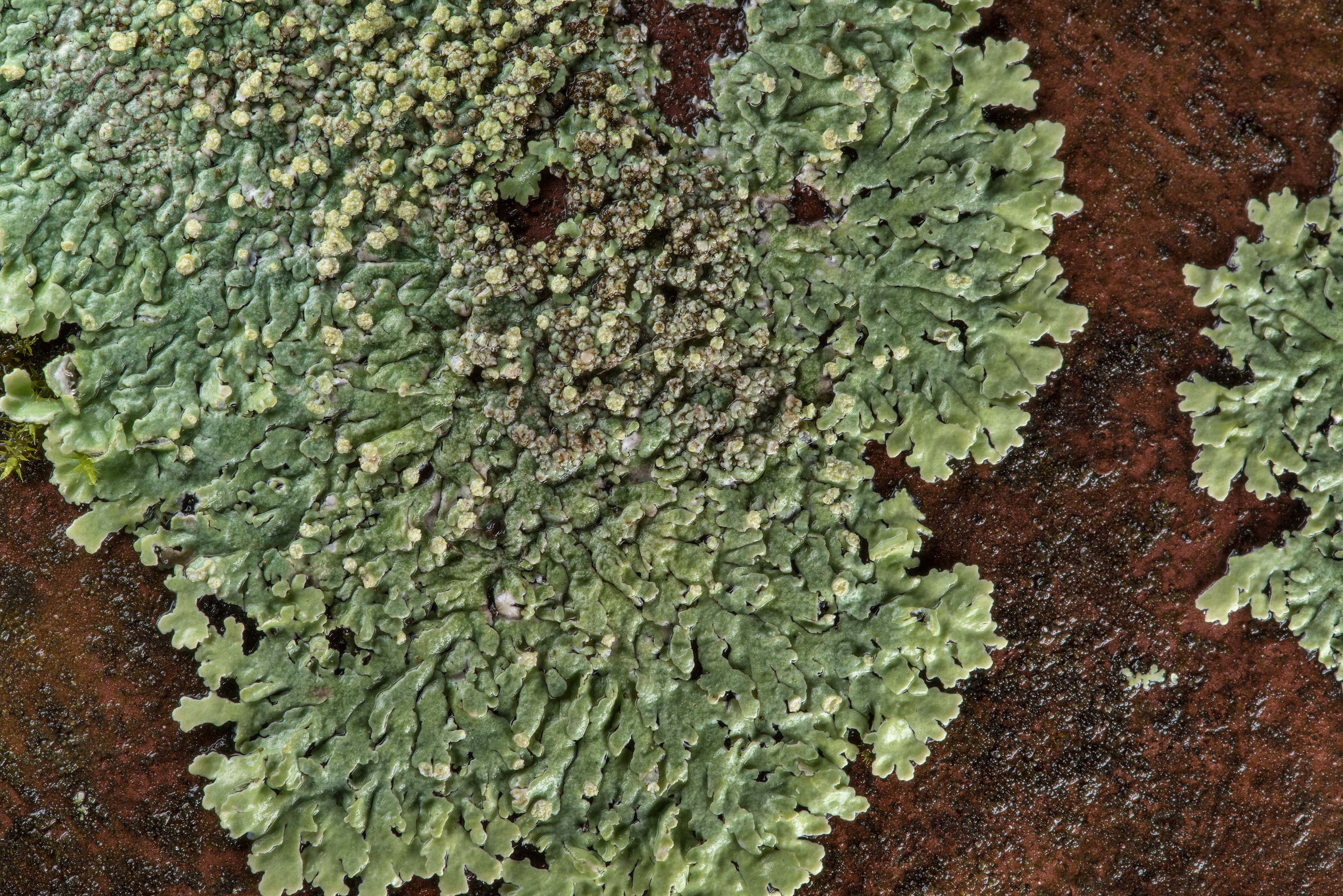 Green patch of rosette lichen (Physcia) on an...Forest, east from Waverly. Texas