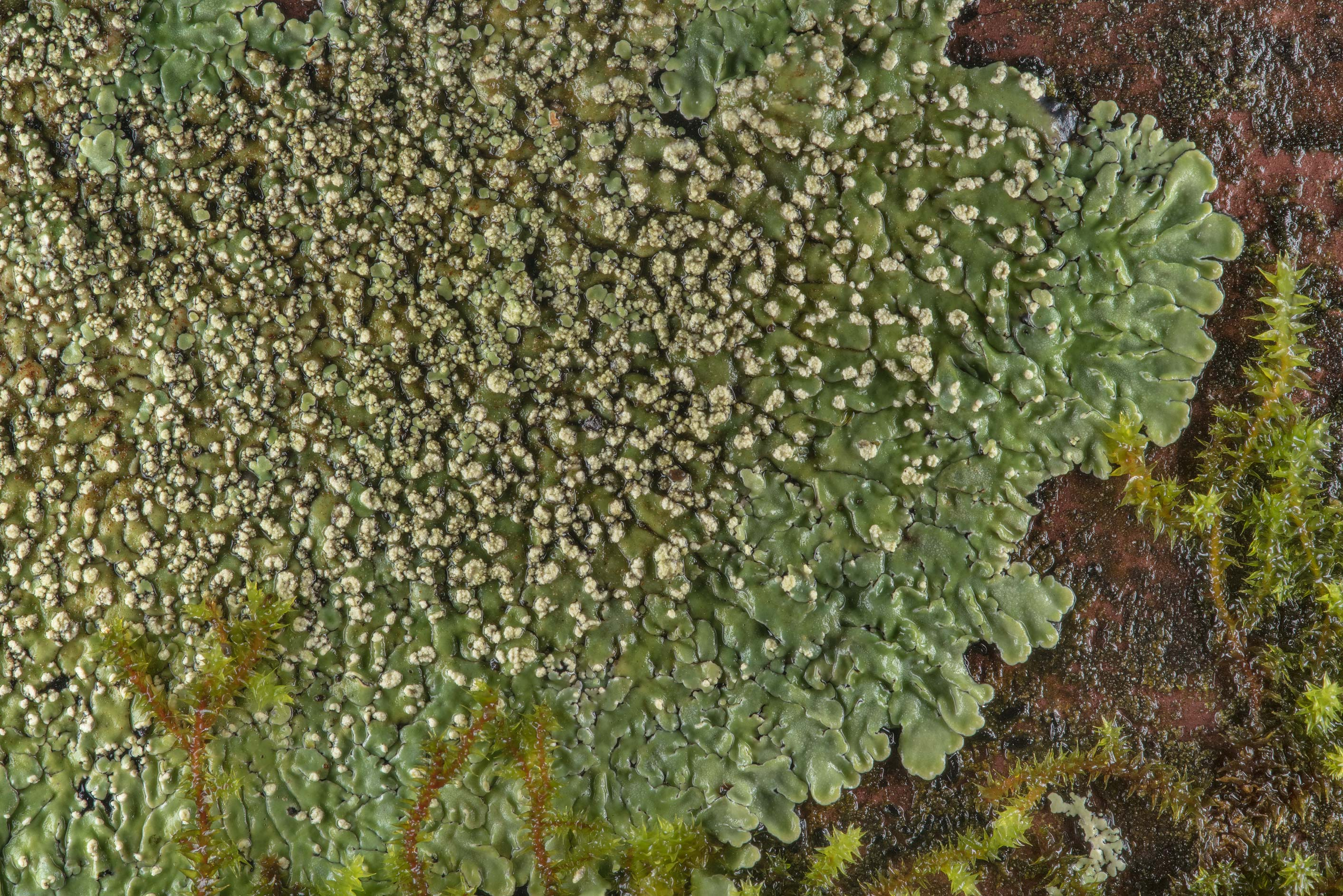 Buttoned rosette lichen (Pyxine) with soredia on...Forest, east from Waverly. Texas