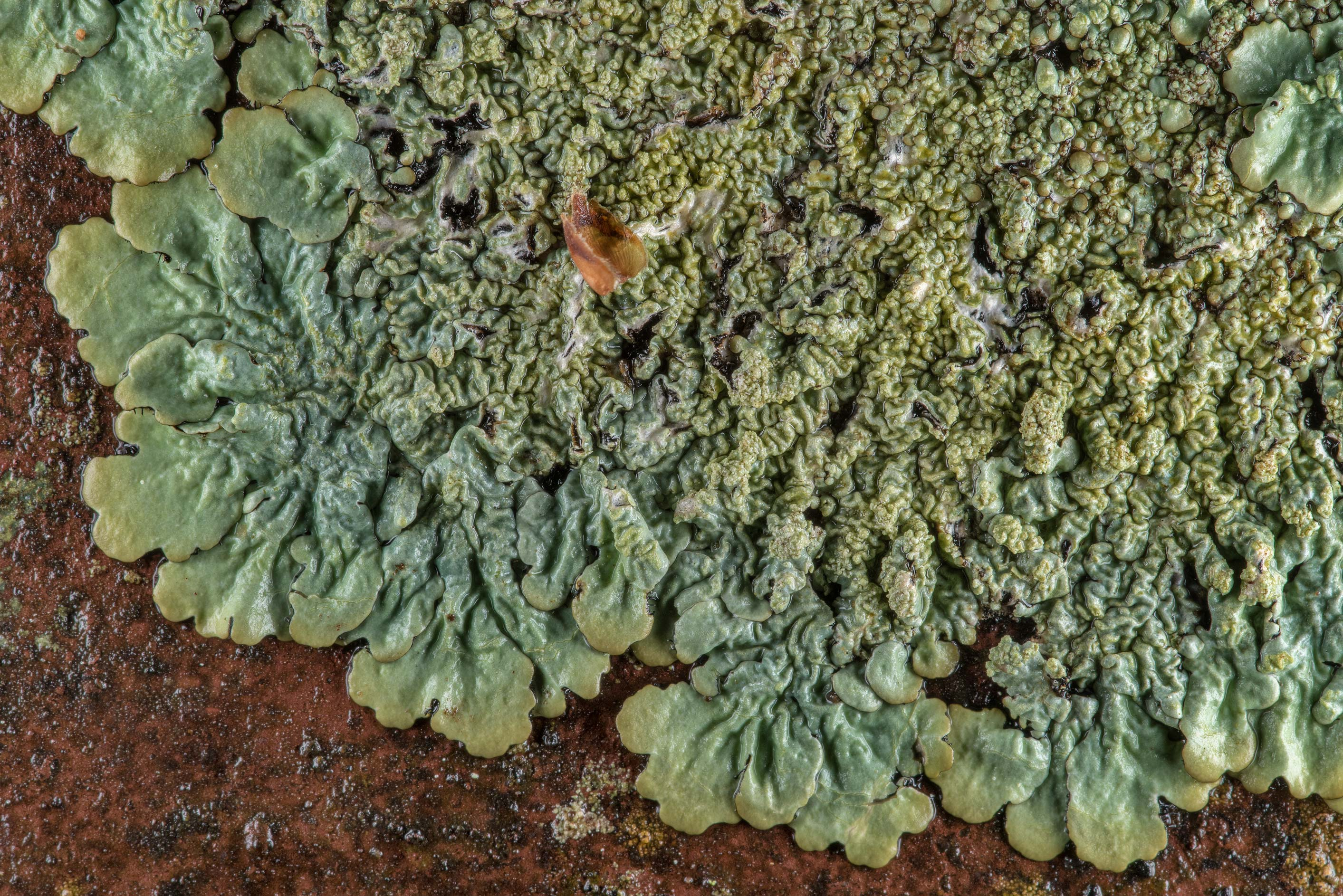Ruffle lichen (Parmotrema) on an iron foot bridge...Forest, east from Waverly. Texas