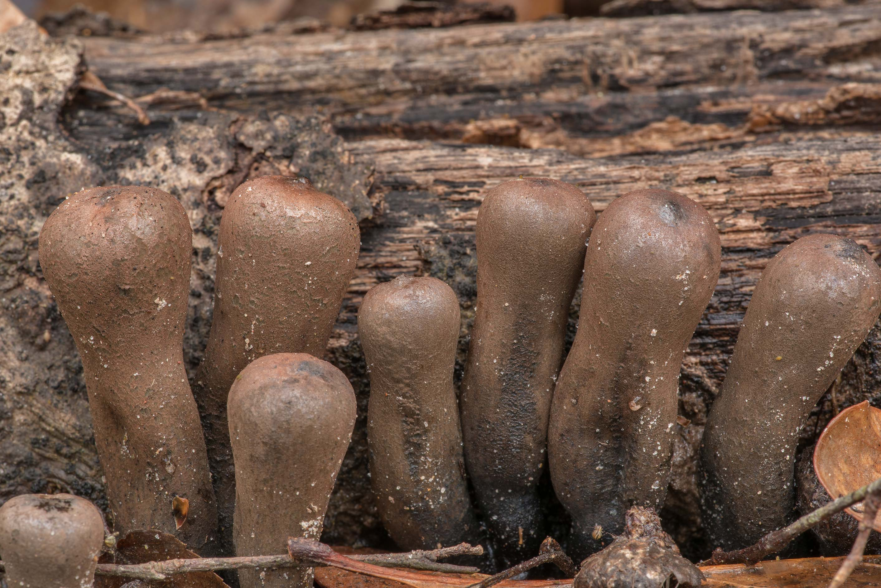 Devil's Urn mushrooms (Urnula craterium) growing...Forest, east from Waverly. Texas